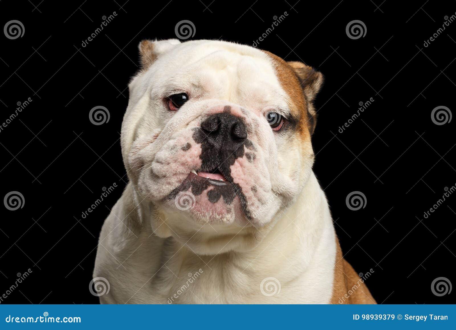 Portrait of British Bulldog on isolated black background