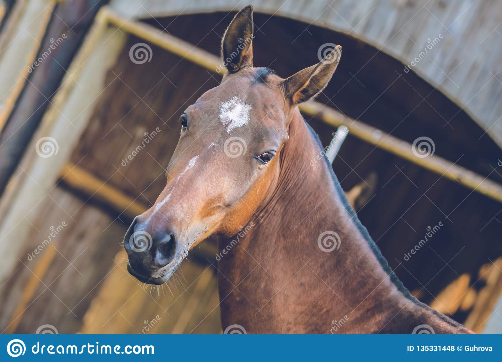 Portrait of brown Akhal teke horse with white spot on forehead