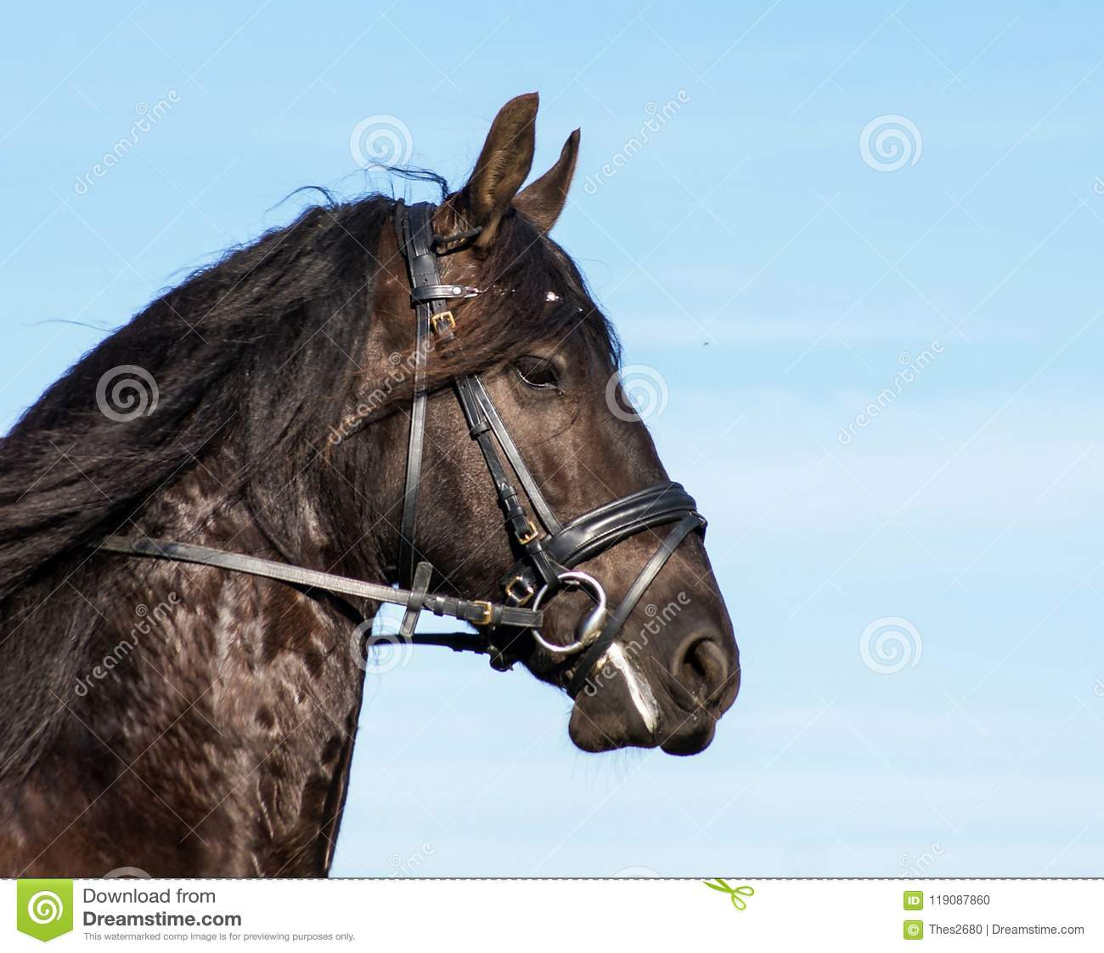 Friesian horse portrait