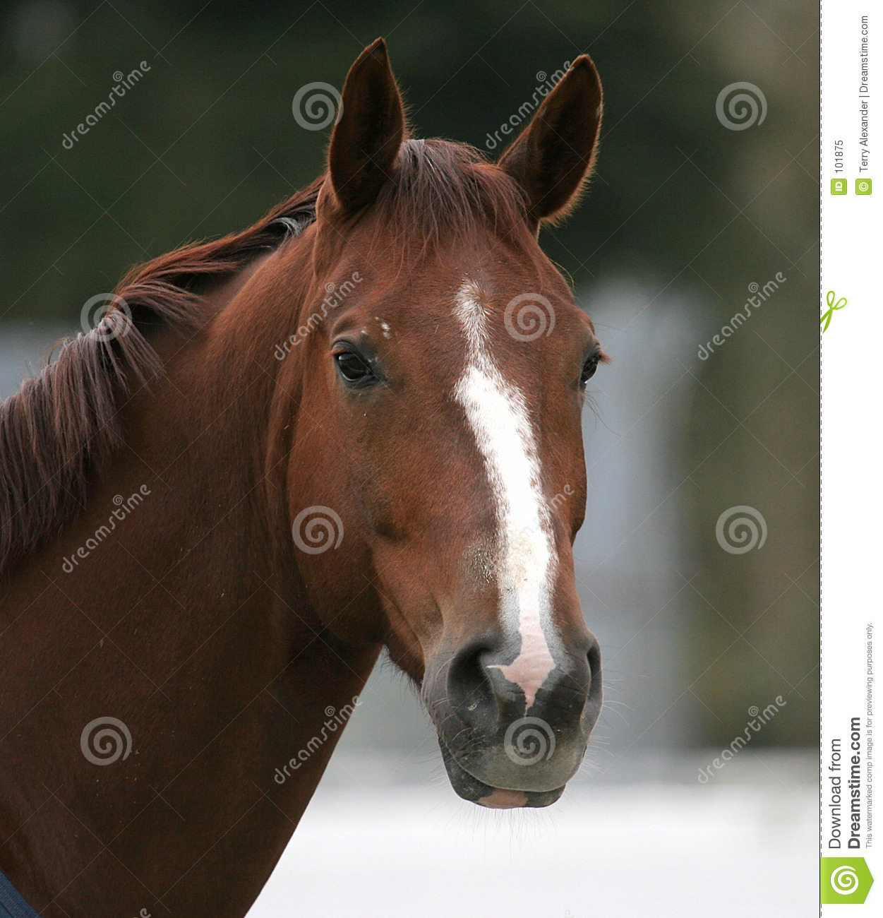 portrait of brown horse royalty free stock photo - image: 101875