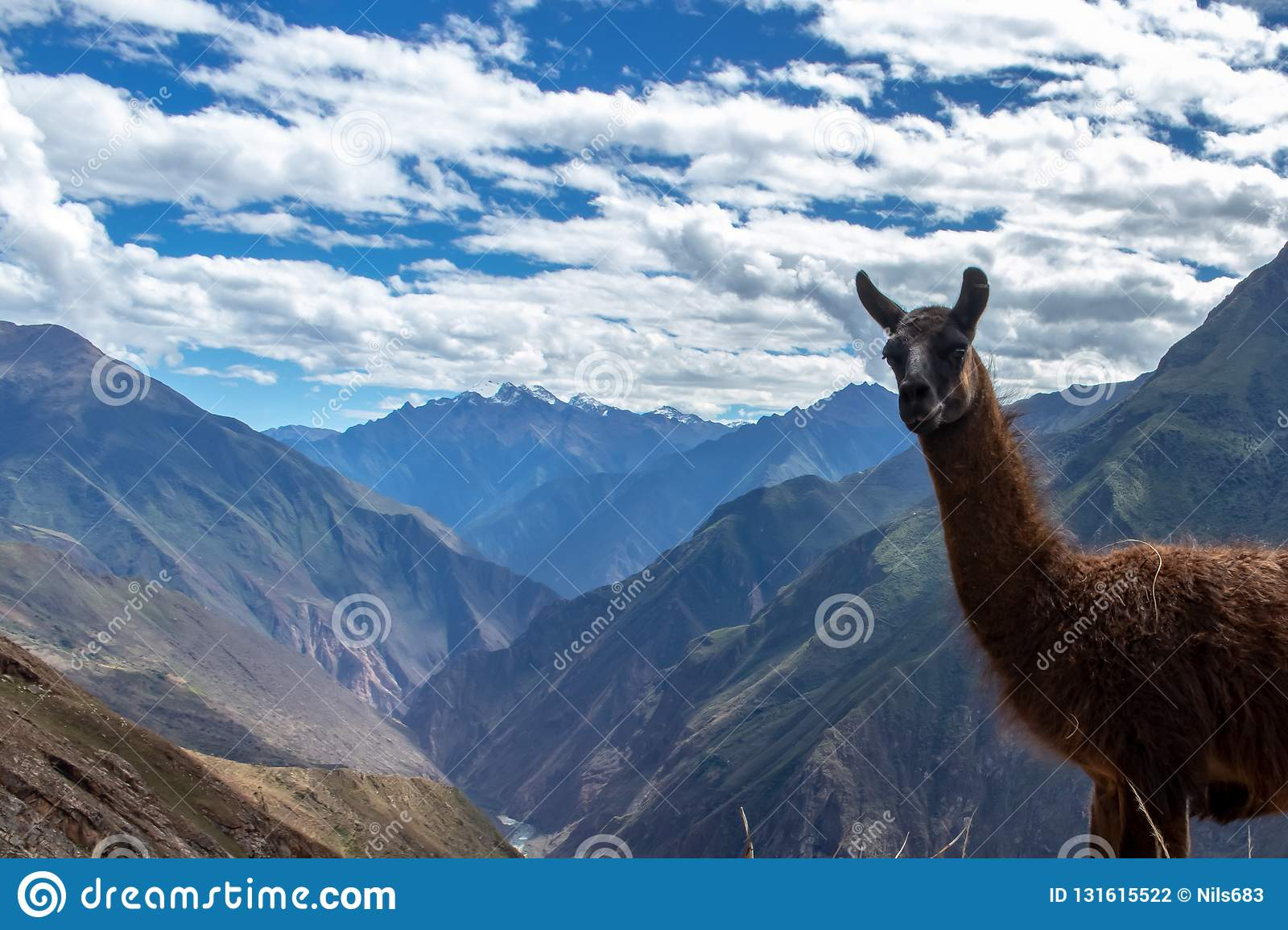 Portrait of a brown lama in the Andes Mountains, Peru