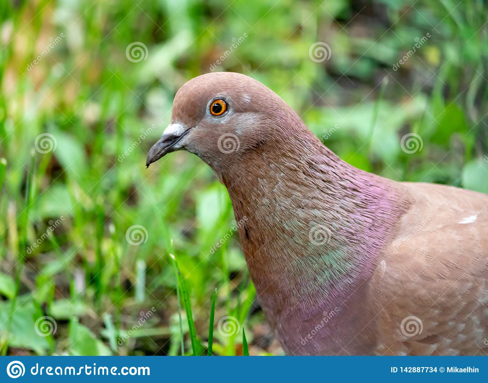 Portrait of brown pigeon in green grass