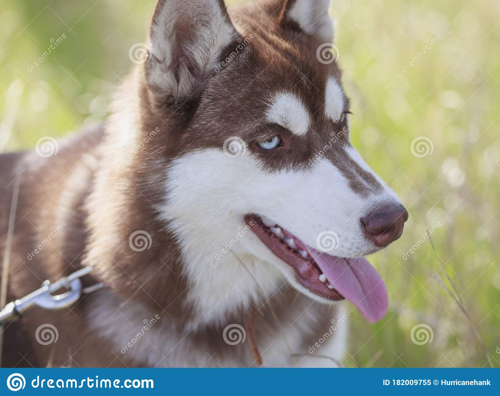 Portrait Of Brown Siberian Husky Puppy With Blue Eyes Stock Image Image Of Nature Lovely 182009755