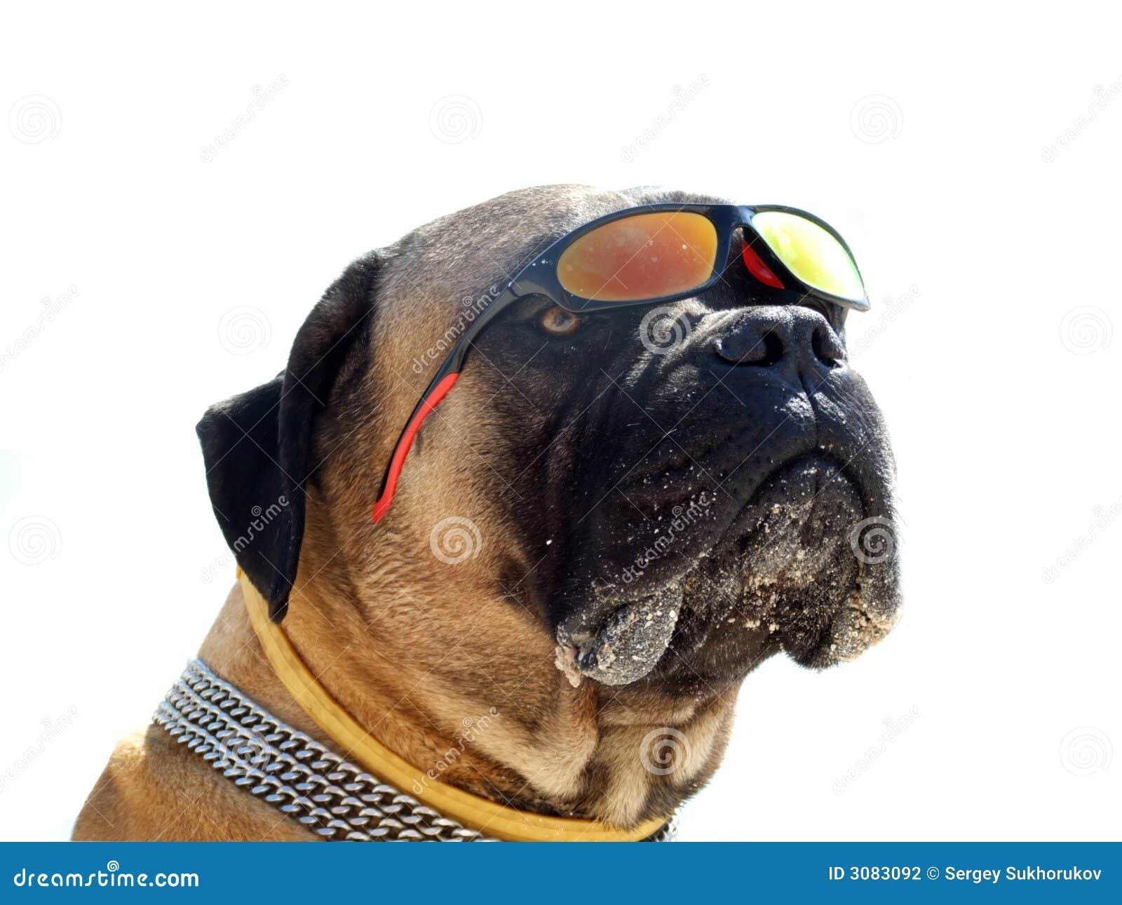 Portrait of the bulldog