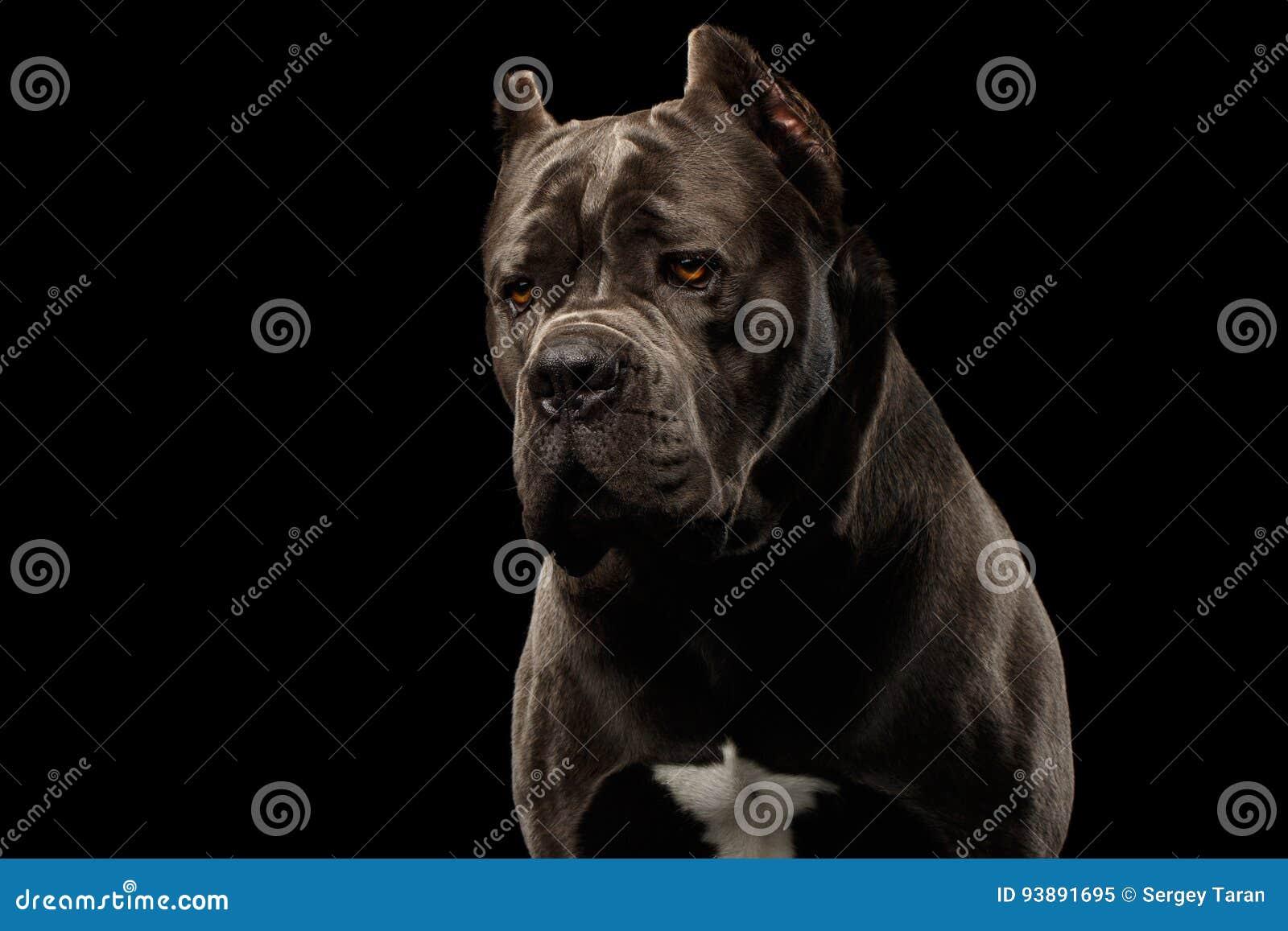 Portrait Cane Corso Dog On Black Stock Image Image Of Italian