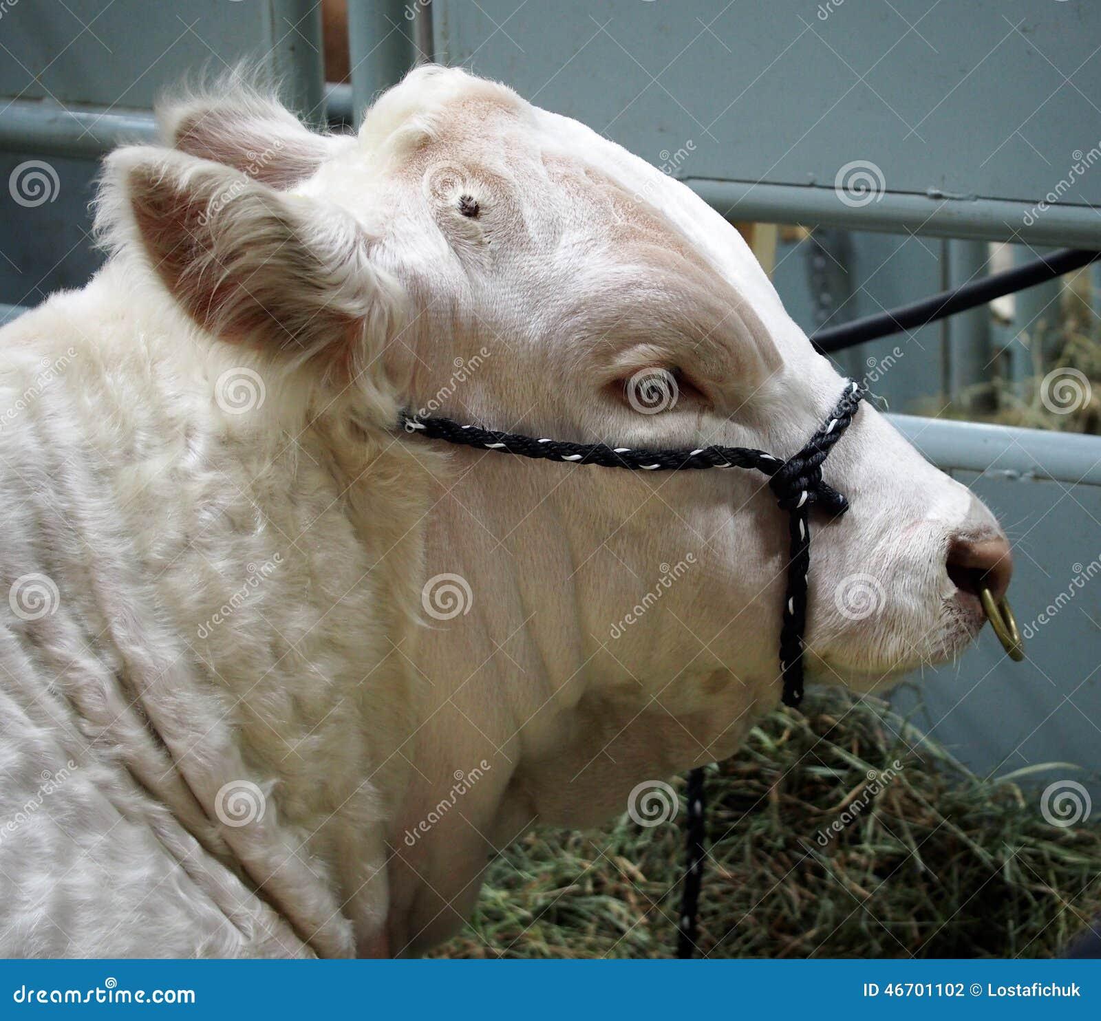 Portrait Of Charolais Bull Stock Photo Image Of Nose 46701102