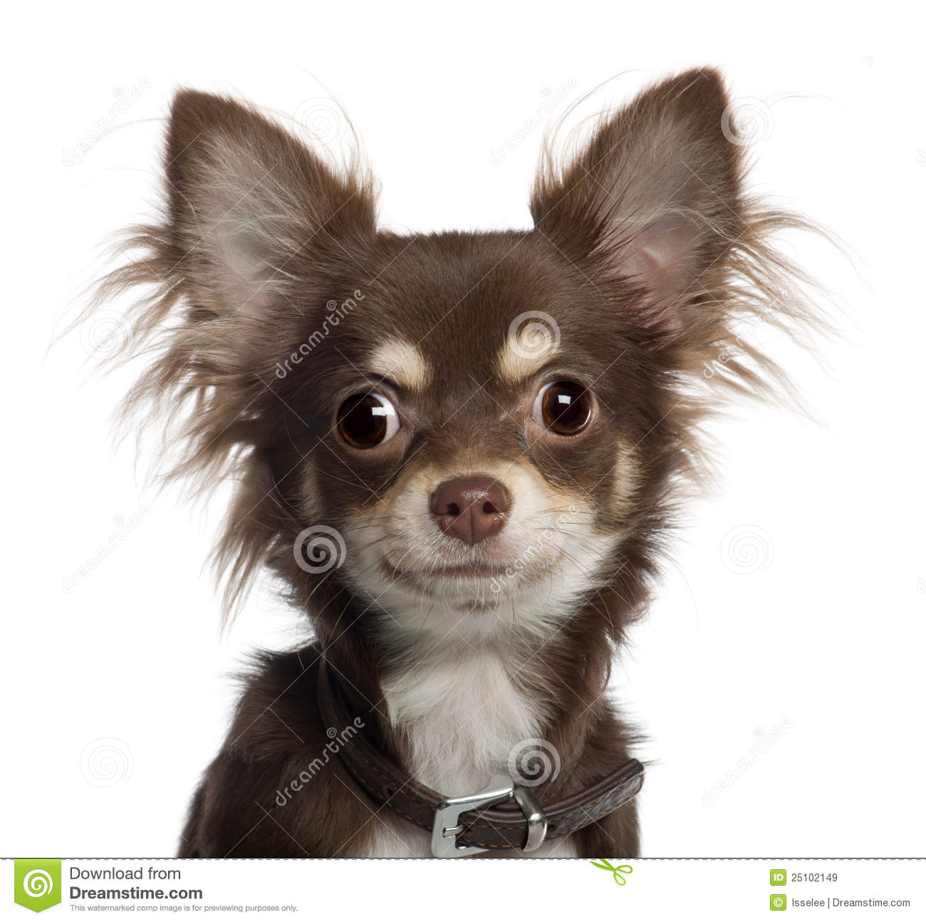 Portrait Of Chihuahua Puppy, 6 Months Old Royalty Free Stock Images ...