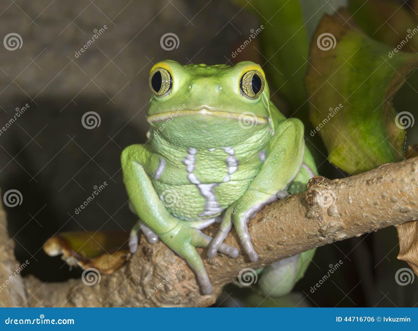 Portrait cireux de grenouille de feuille de singe (sauvagii de Phyllomedusa)