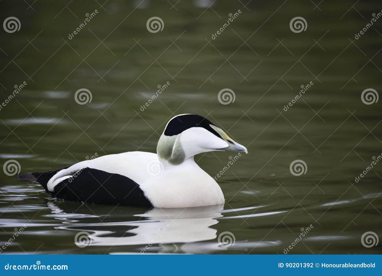 Portrait of Common Eider duck bird Somateria Mollissima in Spring in natural habitat