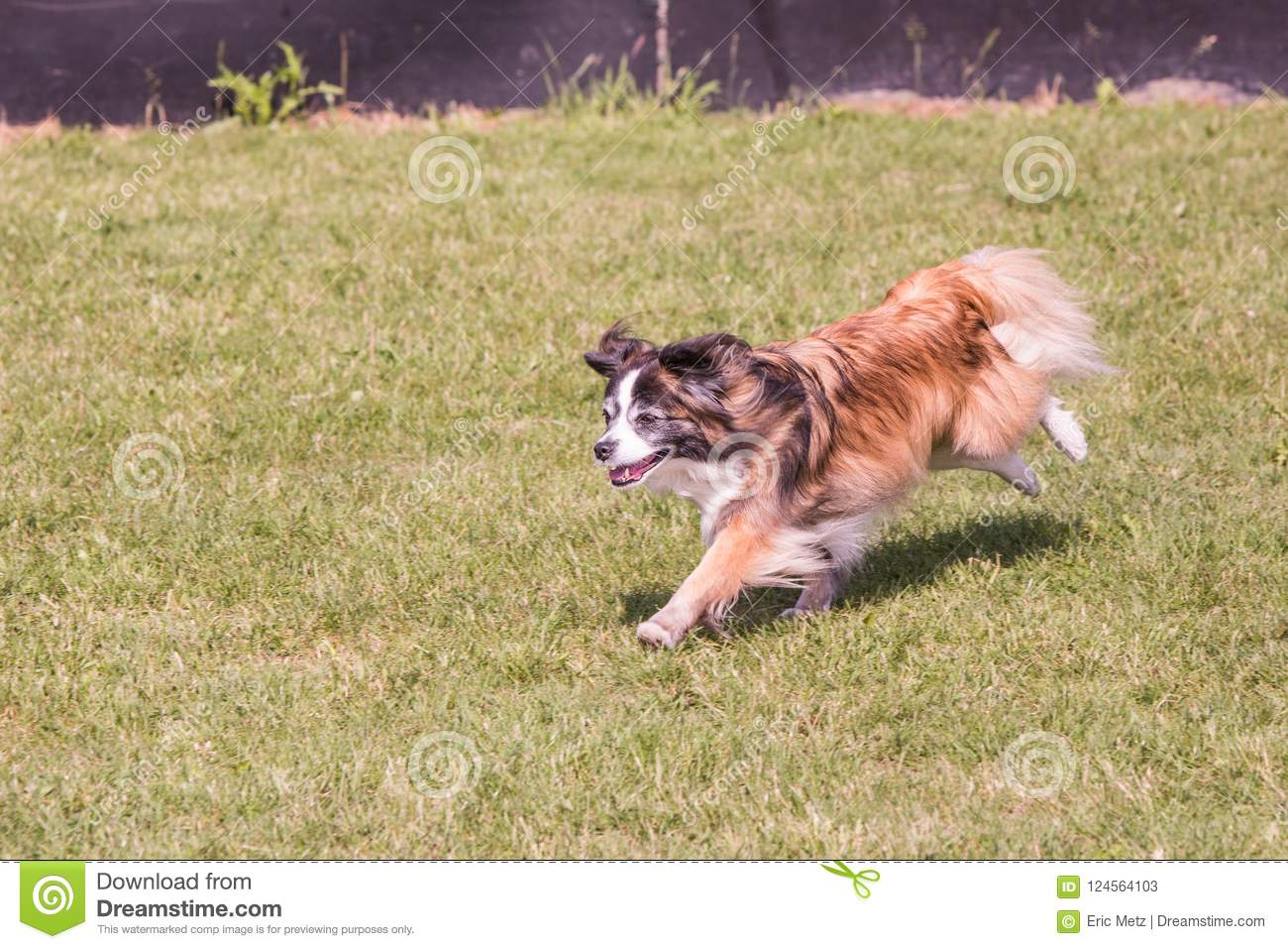Continental Toy Spaniel dog living in belgium