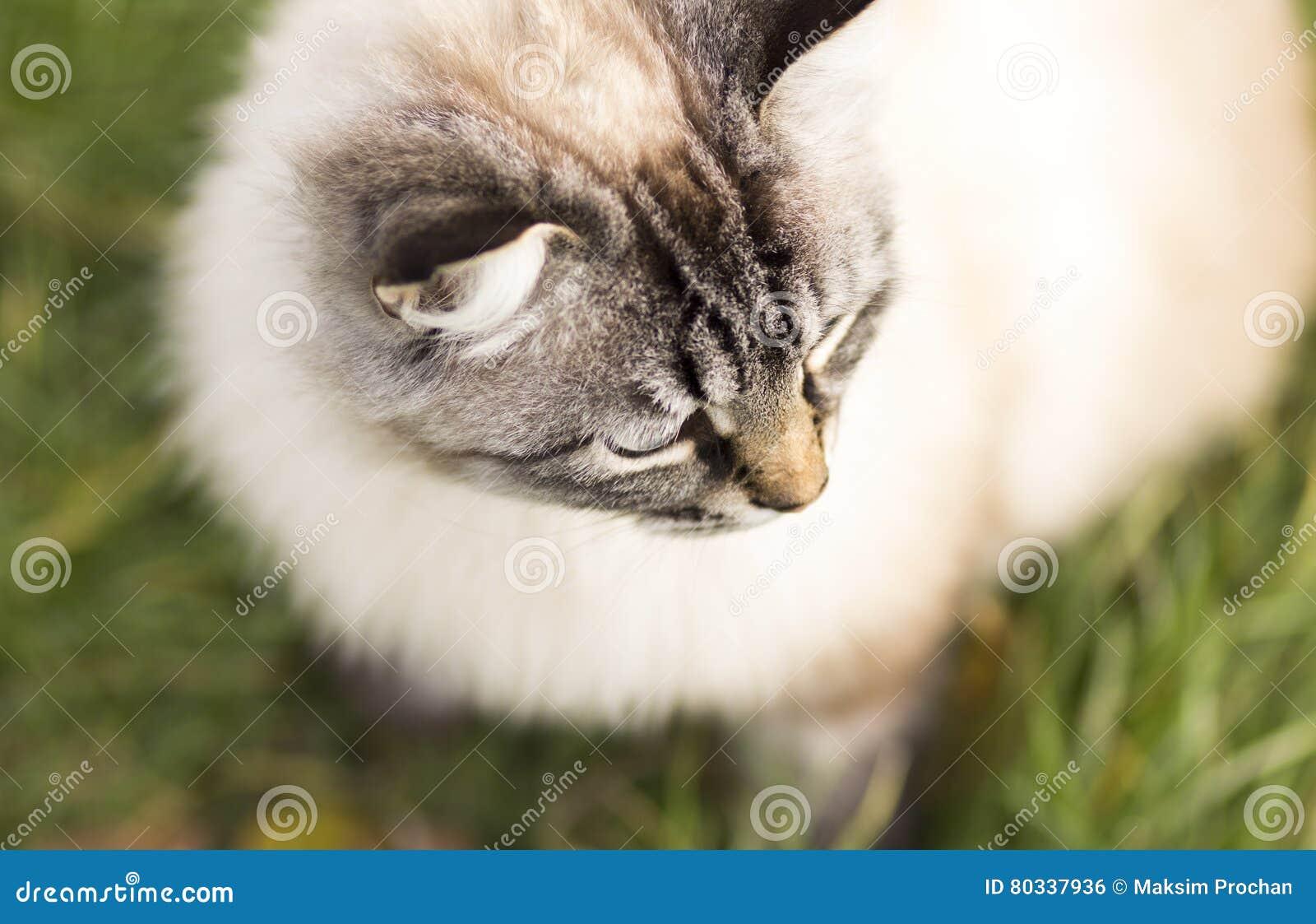Portrait courbe d un chat siamois