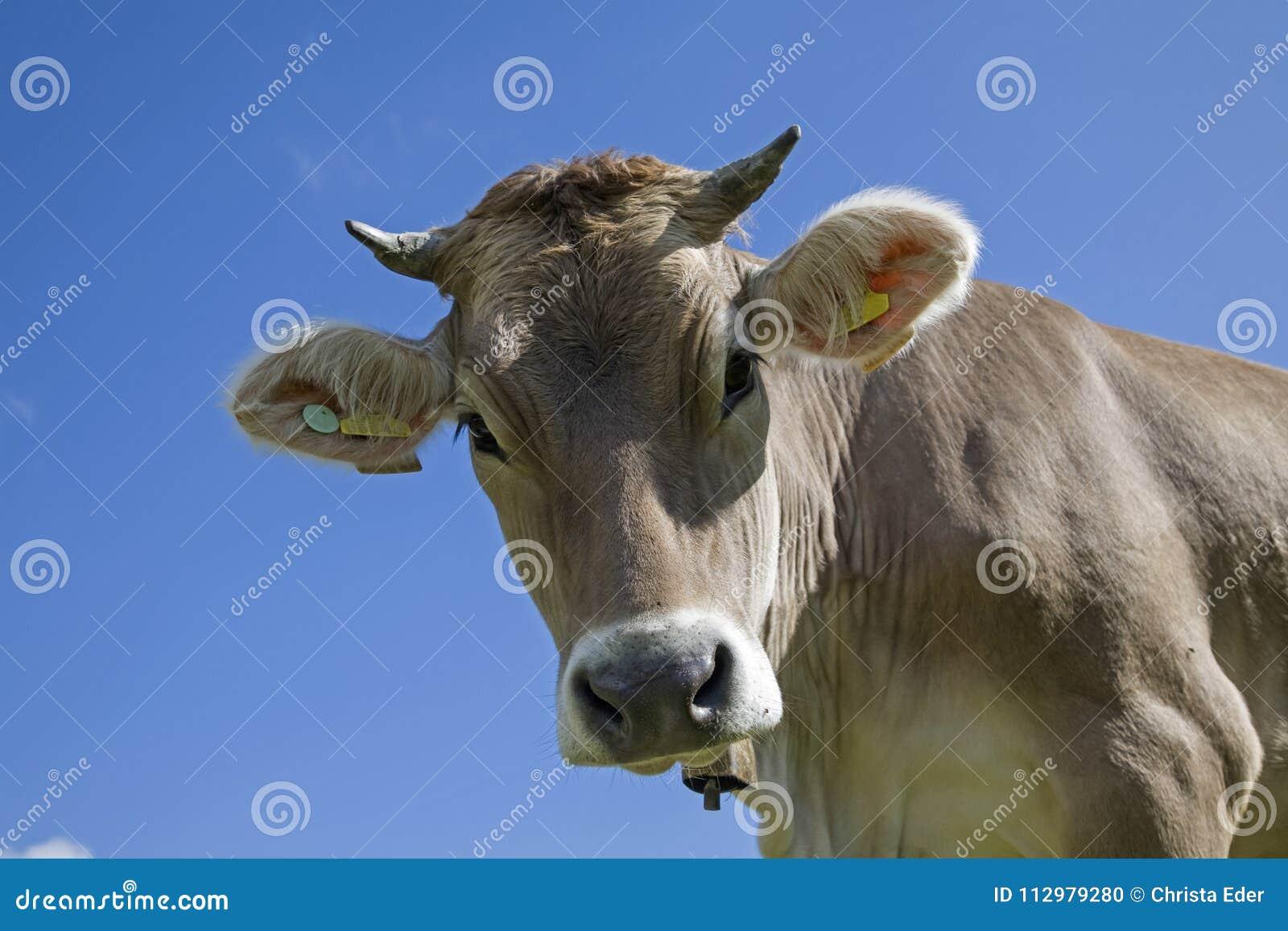 Portrait of a cow against blue sky