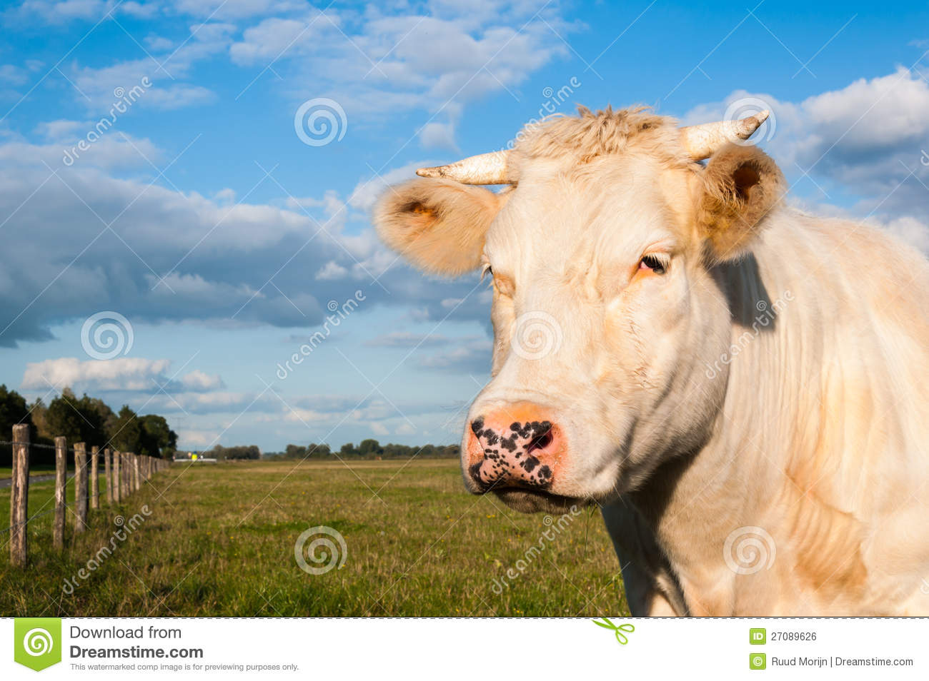 Portrait Of A Cream Colored Cow With Horns Royalty Free