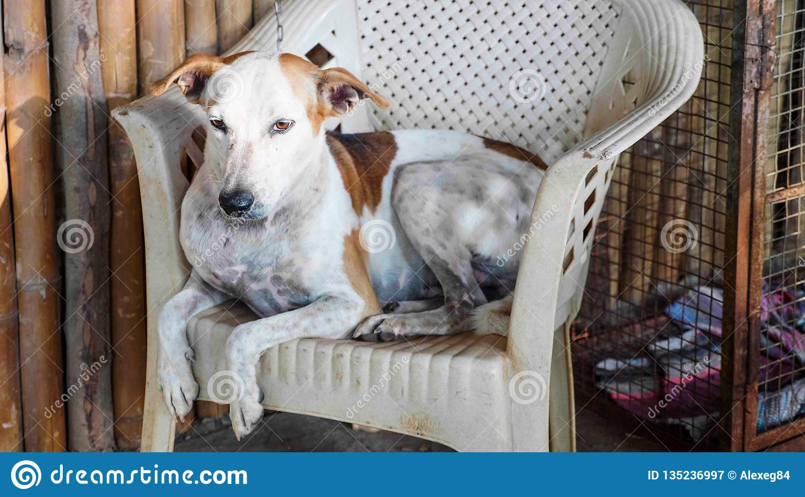 Portrait of cur adult dog lying on the chair at the porch