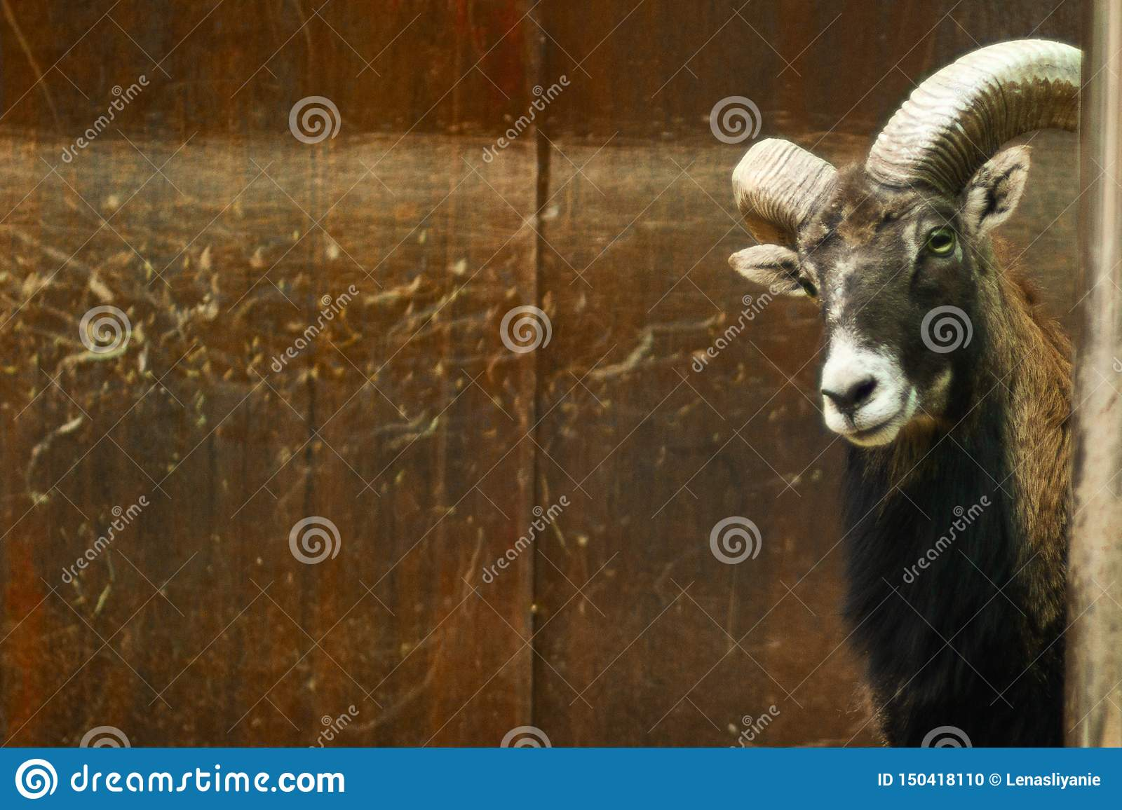 Funny portrait of curious black goat animal