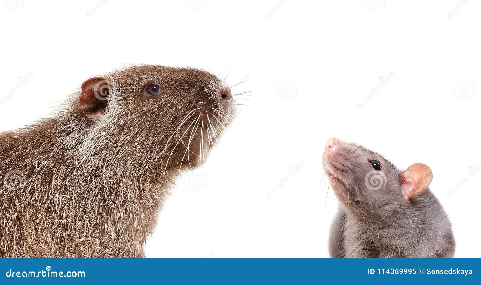 Portrait of curious nutria and rat