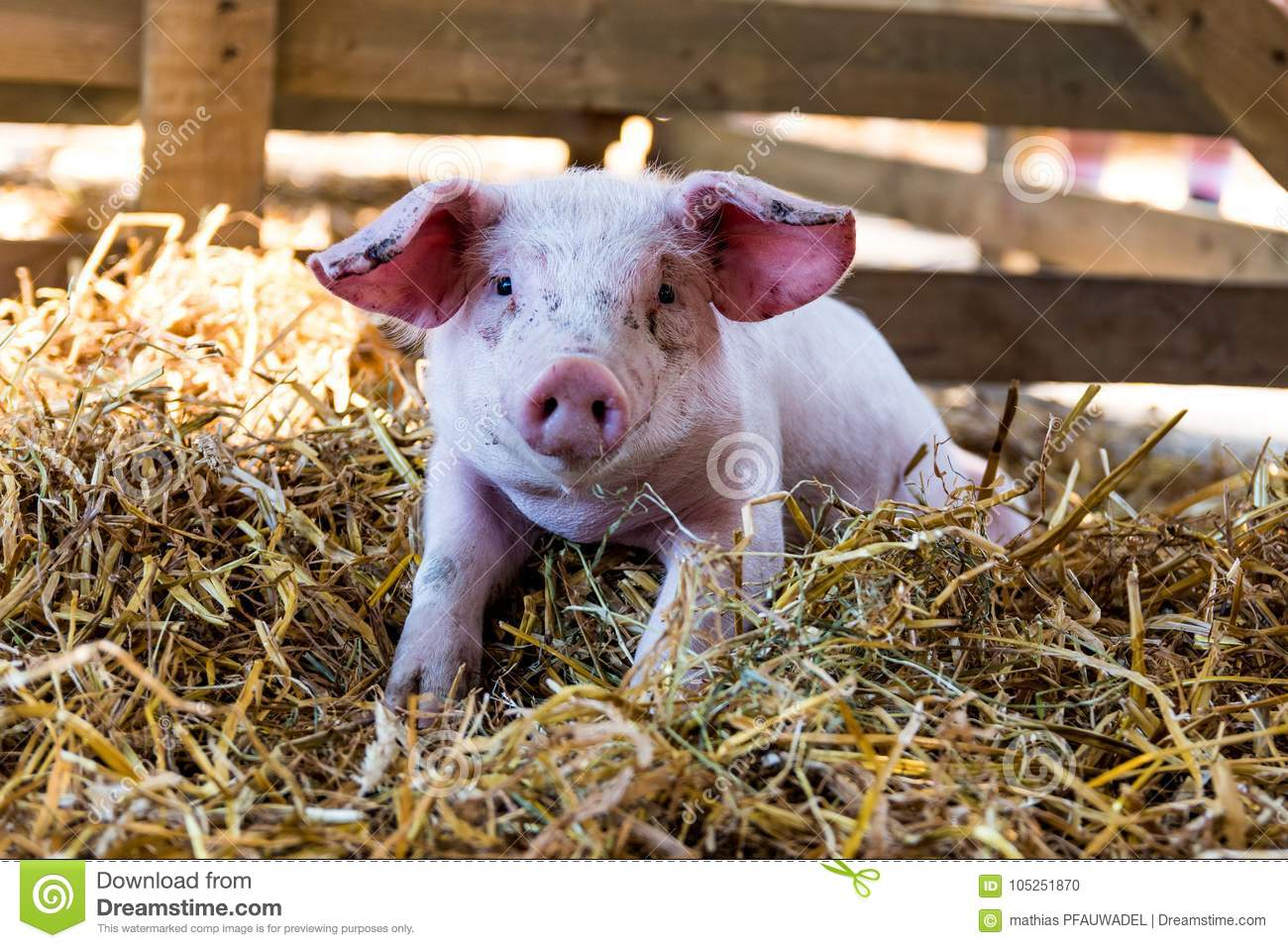 Portrait of a Cute Baby pig