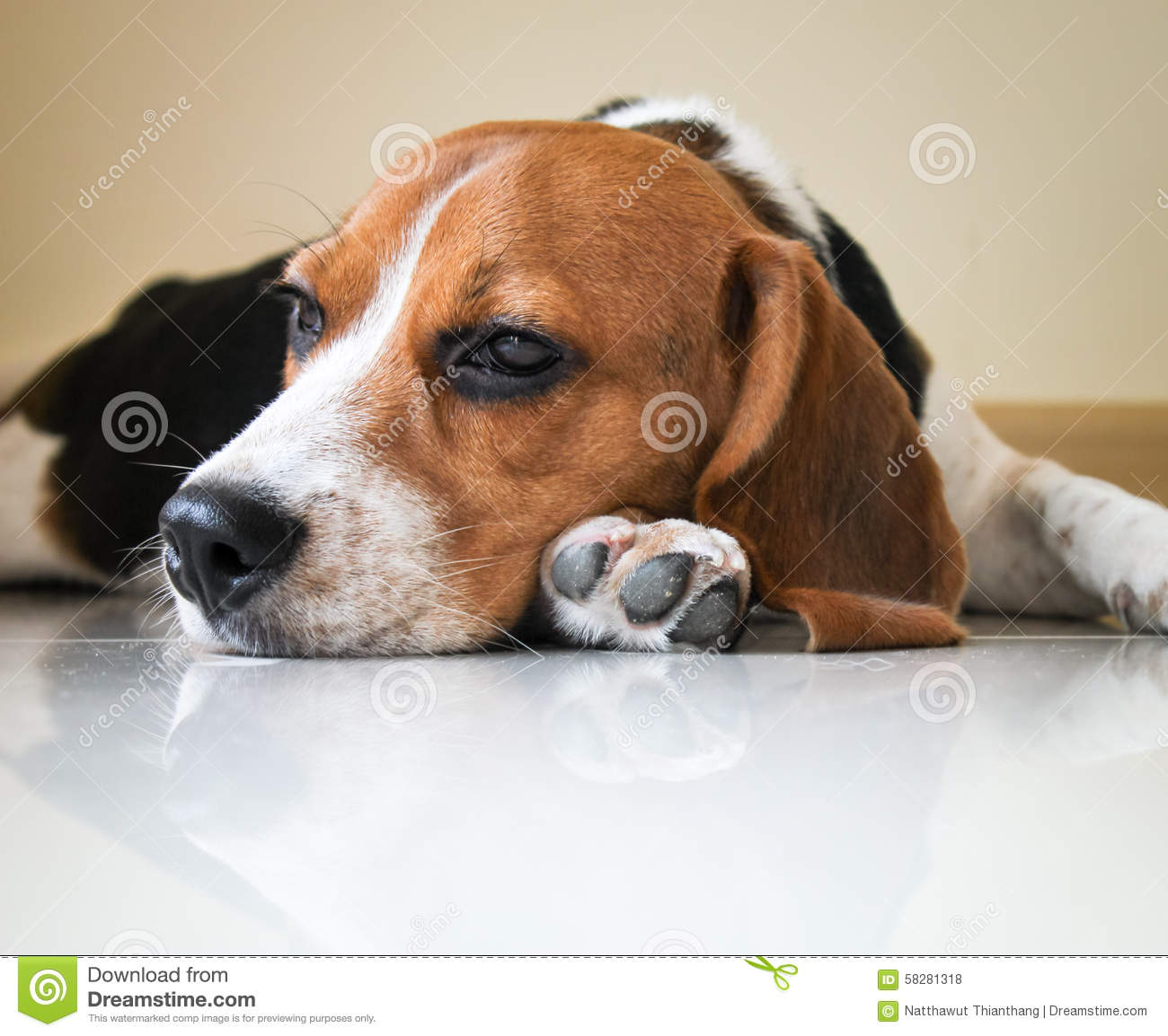 Portrait Cute Beagle Puppy Dog Stock Photo - Image: 58281318