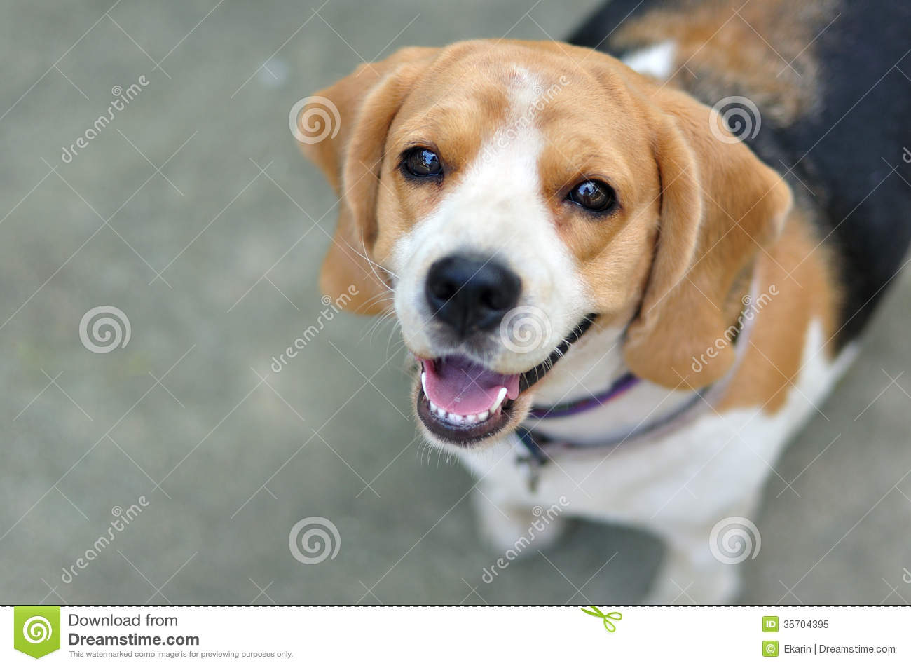 Top Similar Beagle Adorable Dog - portrait-cute-beagle-puppy-dog-looking-up-35704395  Photograph_68753  .jpg