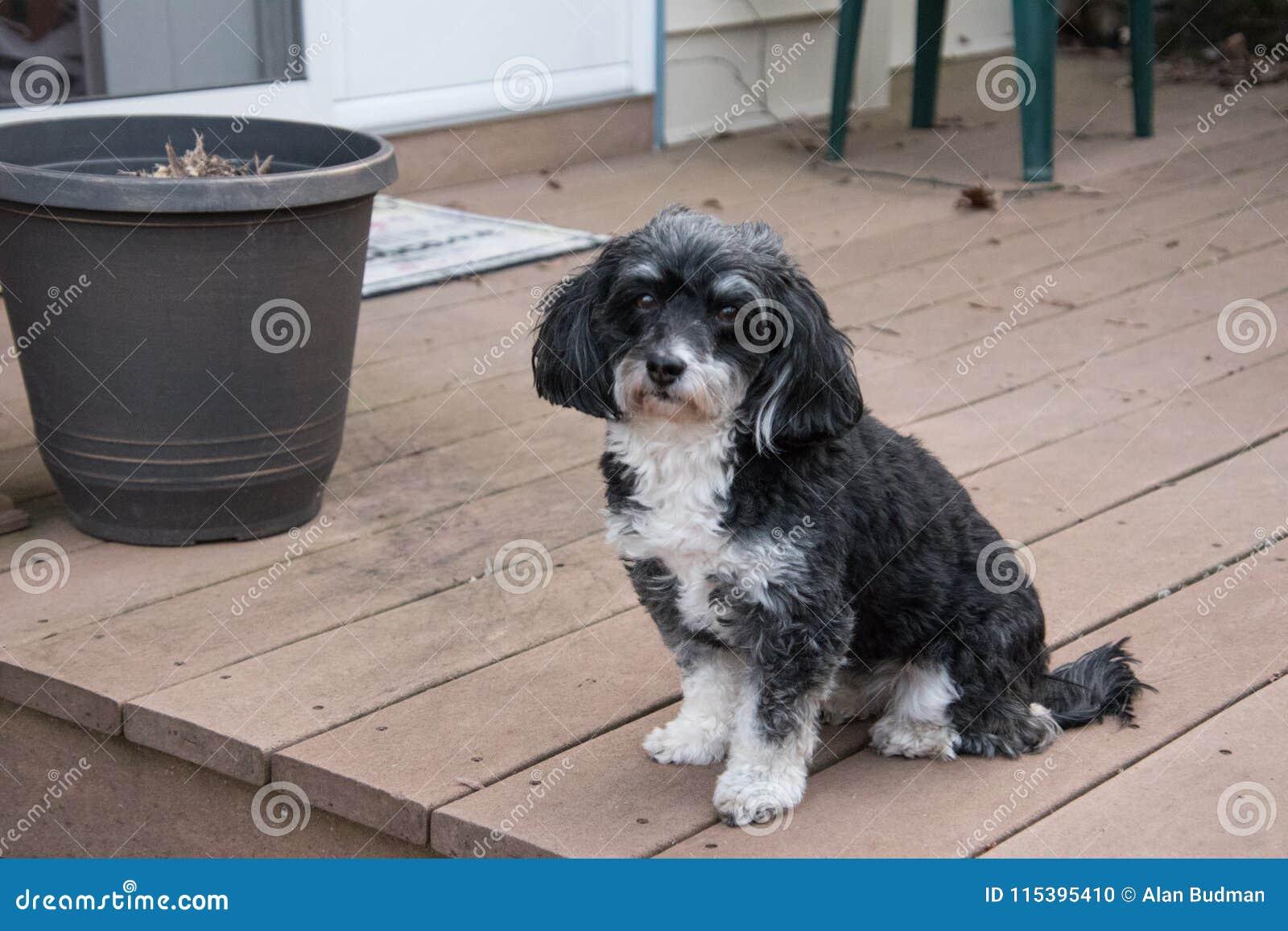 Portrait Of Havanese Puppy Dog Stock Photo Image Of Black Pink 115395410