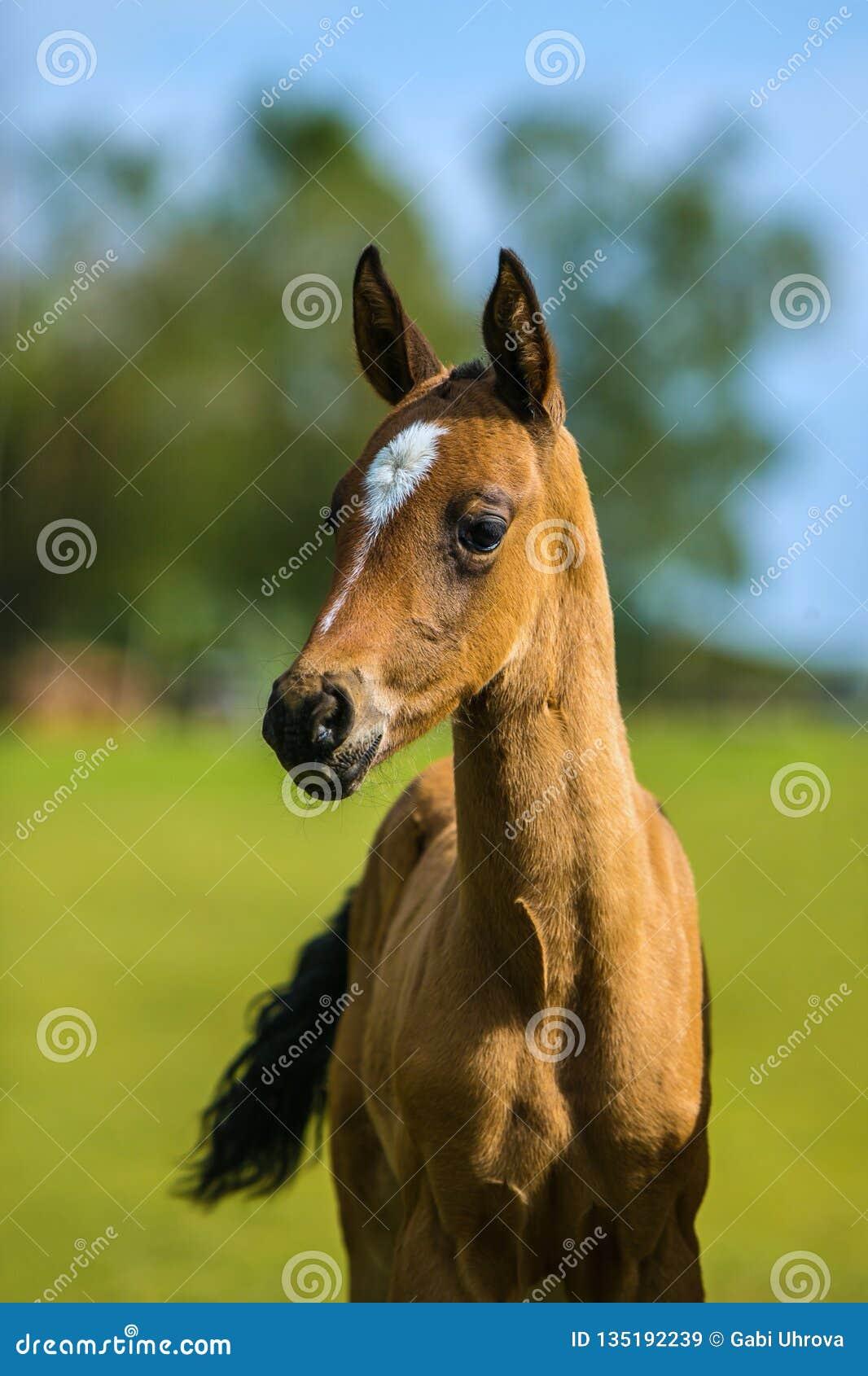 Cute brown akhal teke foal on a summer day