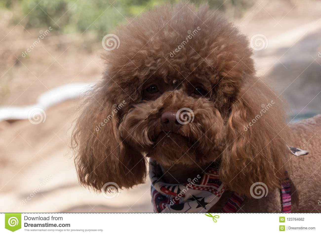 Portrait of cute brown poodle outside on sunny day, blured background