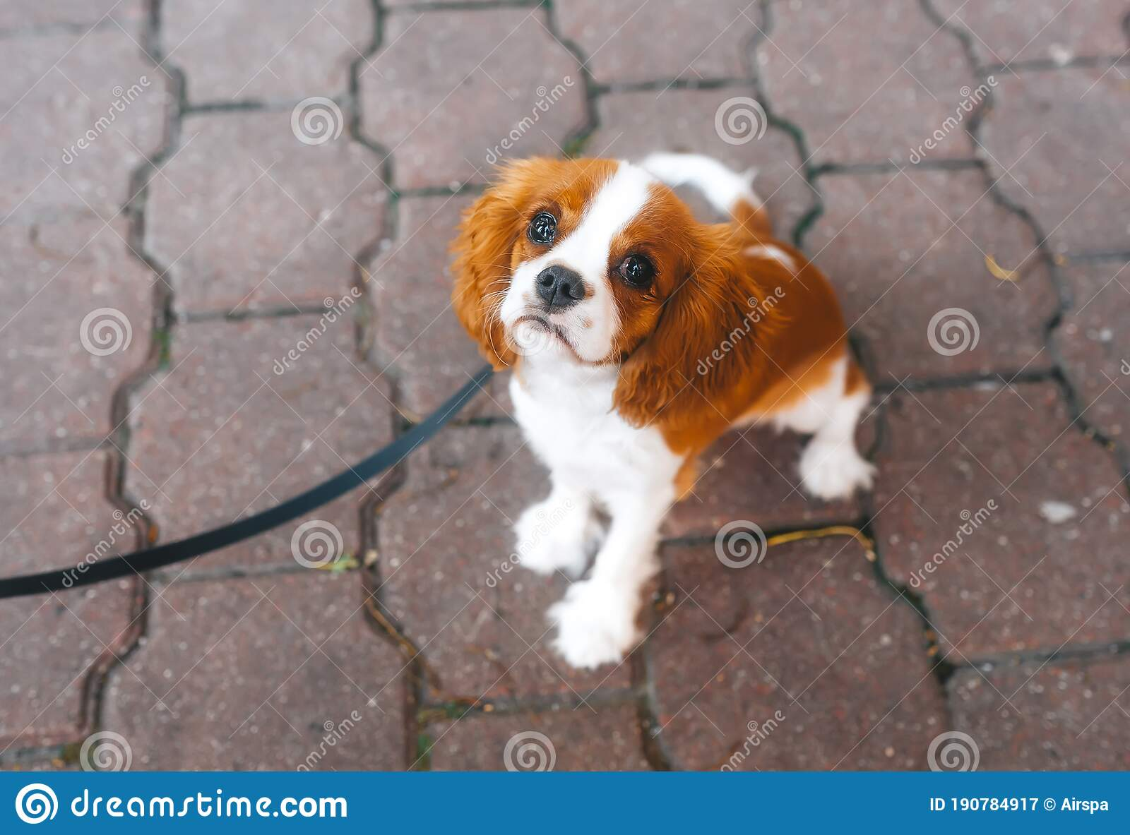 Portrait Of A Cute Cavalier King Charles Spaniel Puppy On The Leash Looking Into Camera Top View Stock Image Image Of Collar Love 190784917