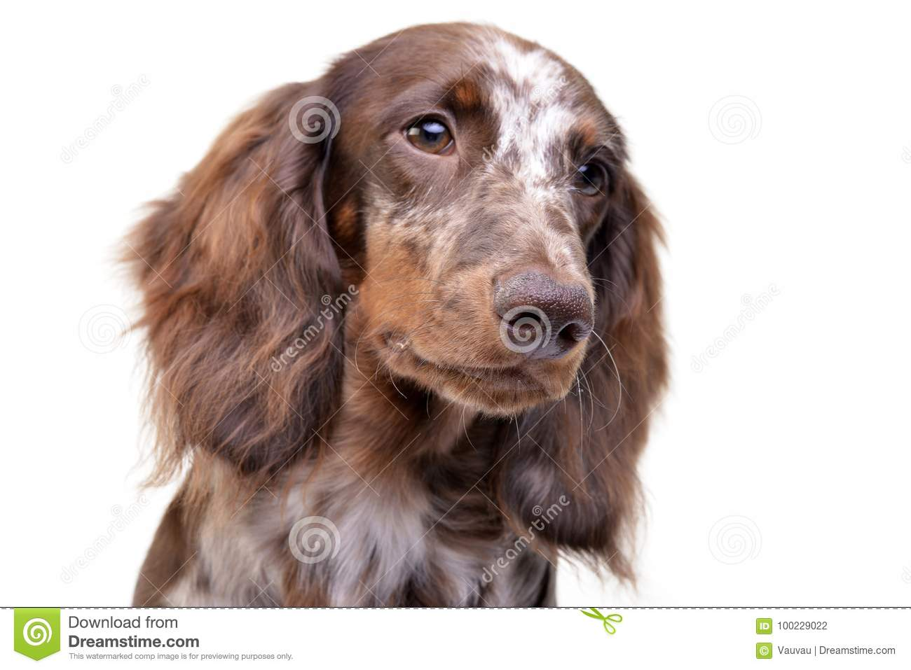 Portrait Of A Cute Dachshund Puppy Stock Photo Image Of Multicolored Adorable 100229022