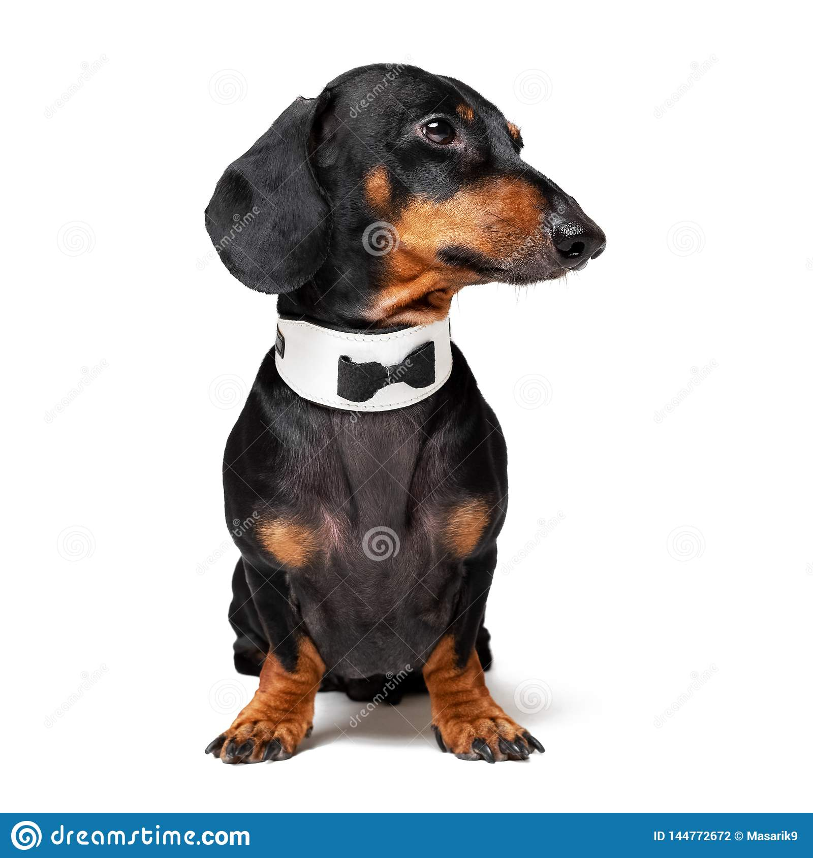 Portrait of cute dog, dachshund, black and tan, wearing  bow tie, isolated on white background