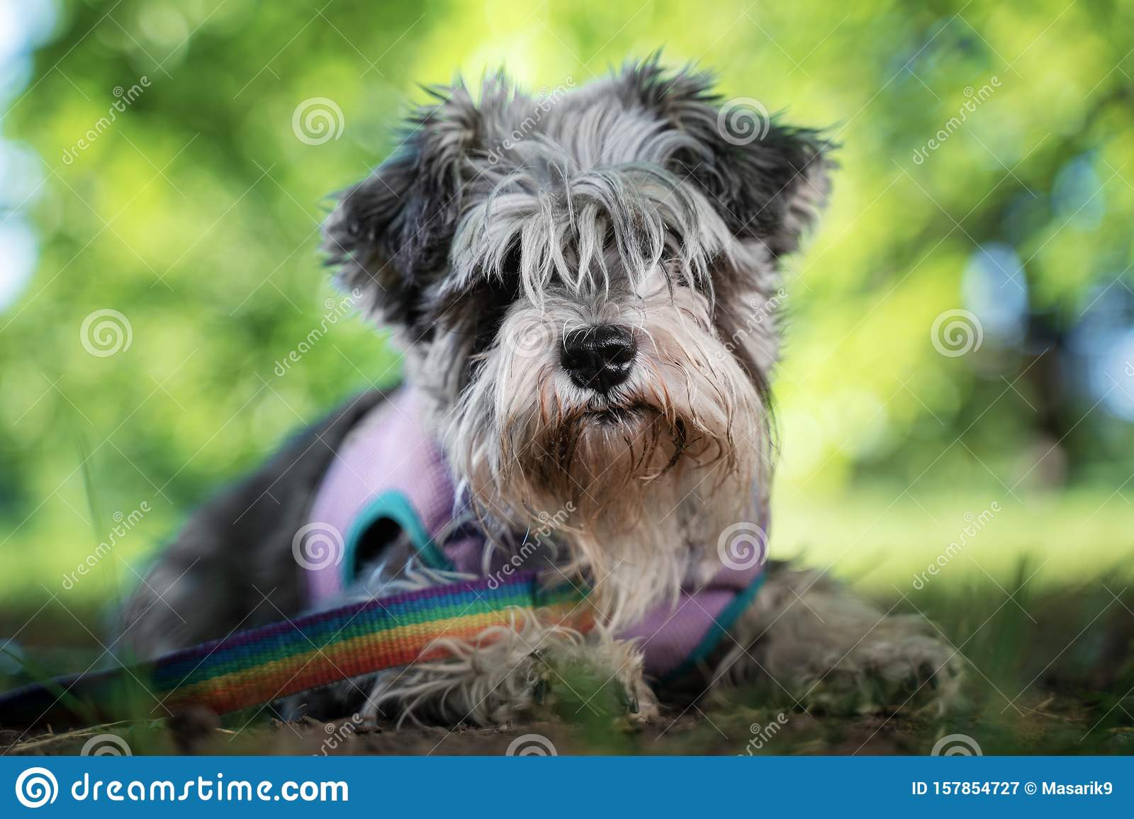 Portrait Of A Cute Dog Miniature Schnauzer Lies On The Grass In The Park Puppy Training And Obedience Stock Image Image Of Miniature Obedience 157854727