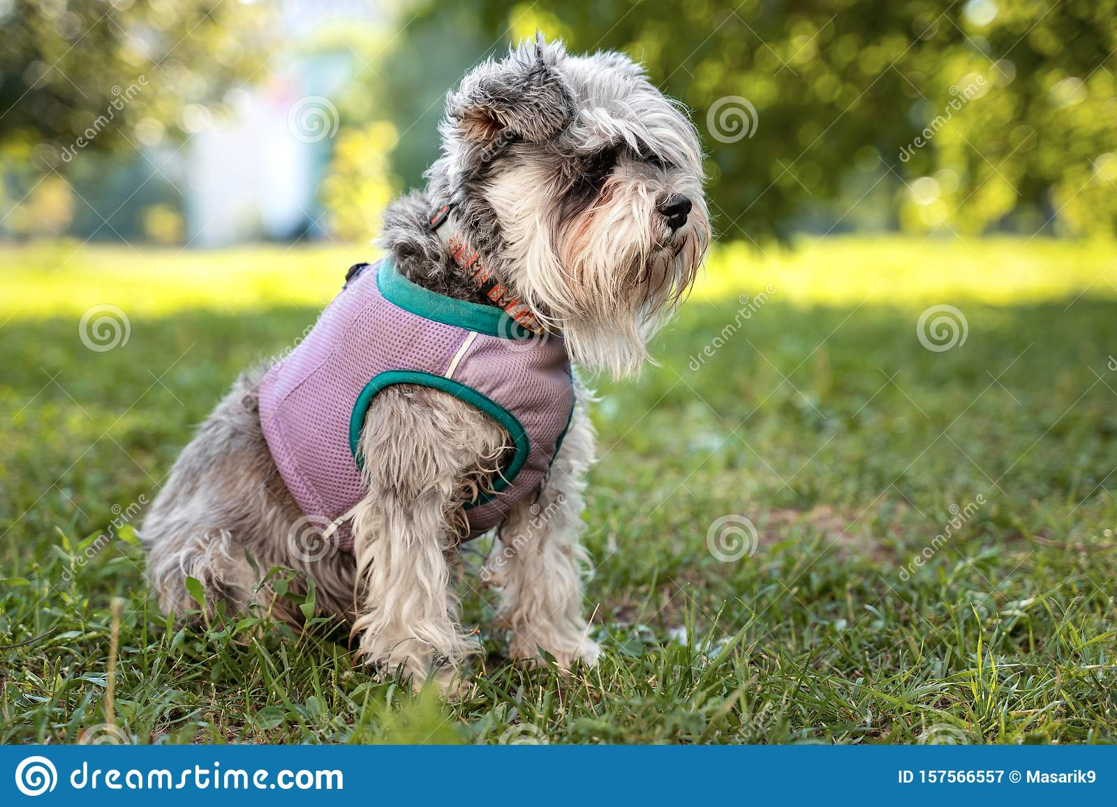 Portrait Of A Cute Dog Miniature Schnauzer Sits On The Grass In The Park Puppy Training And Obedience Stock Image Image Of Outside Training 157566557