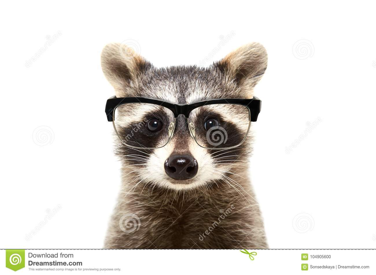 Portrait of a cute funny raccoon wearing glasses
