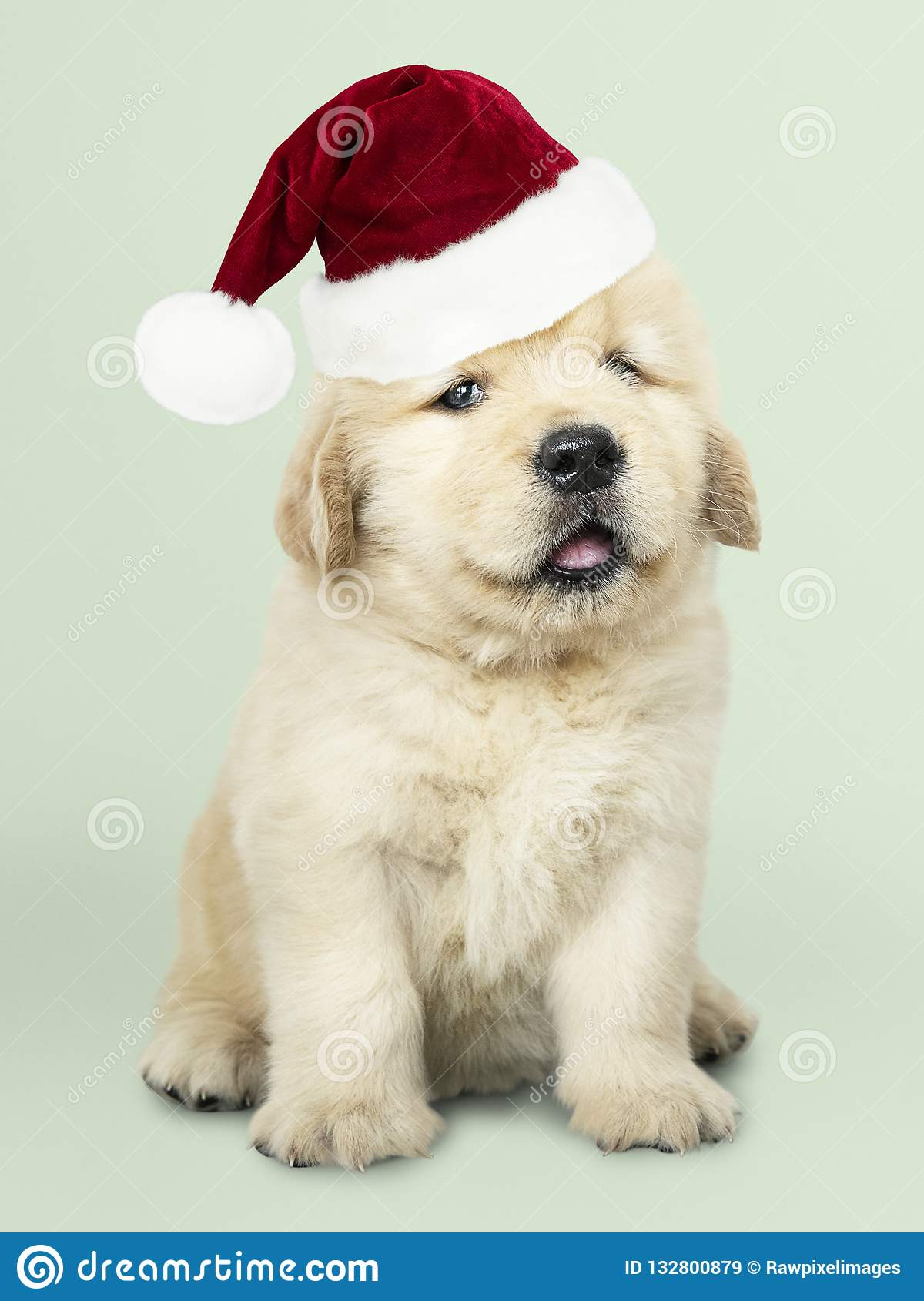 Portrait Of A Cute Golden Retriever Puppy Wearing A Santa Hat Stock Image Image Of Green Pooch 132800879