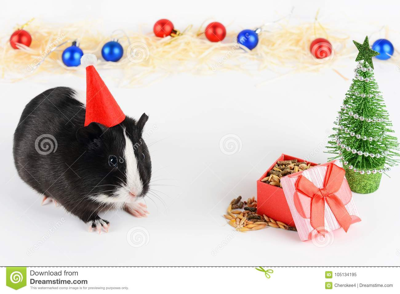 Portrait of cute guinea pig on a Christmas background. Guinea Pig Eats Vitaminized Feed. Funny New Year background.