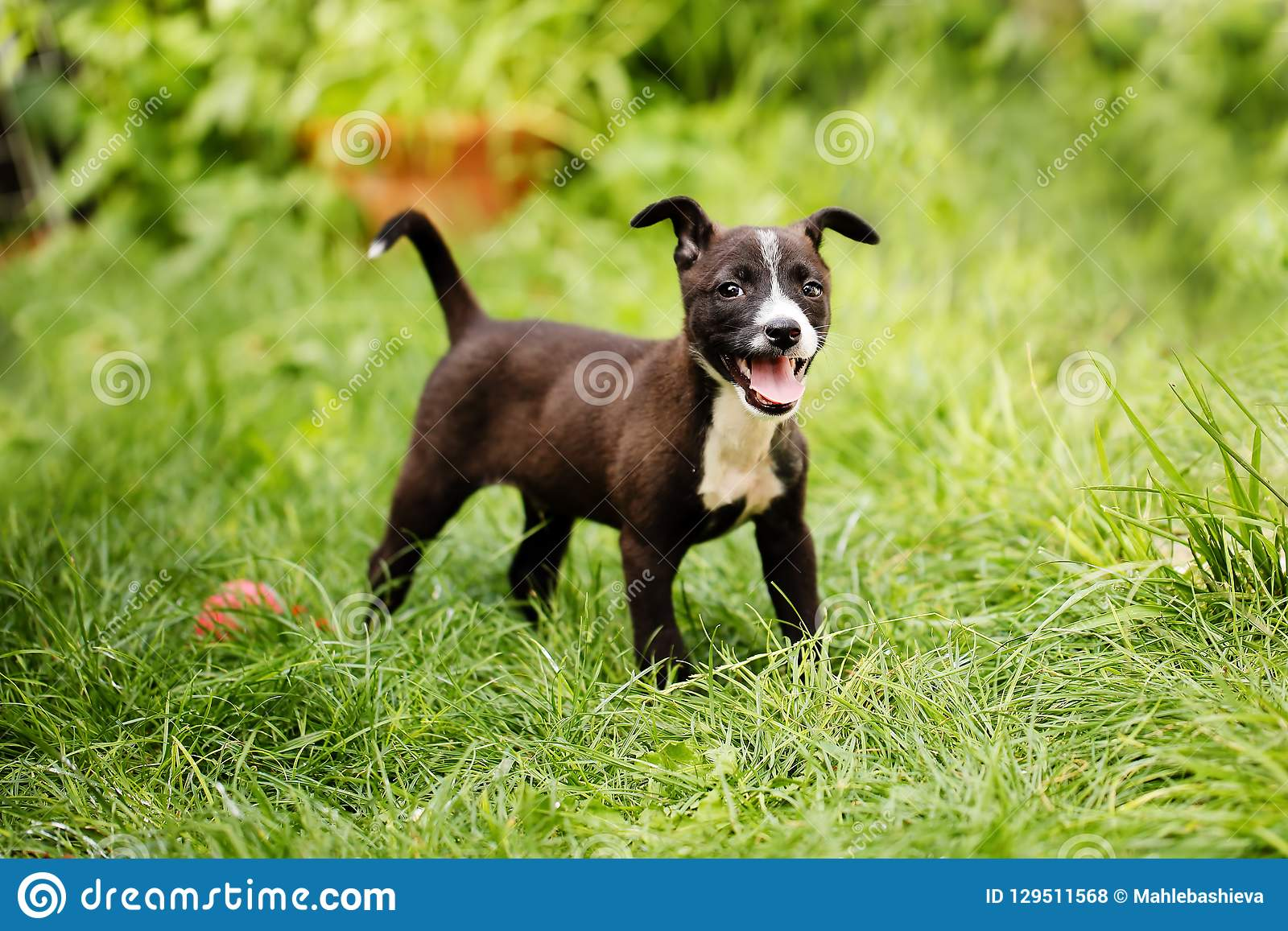 Portrait Of A Cute, Happy Mixed Breed Small Puppy In Black ...