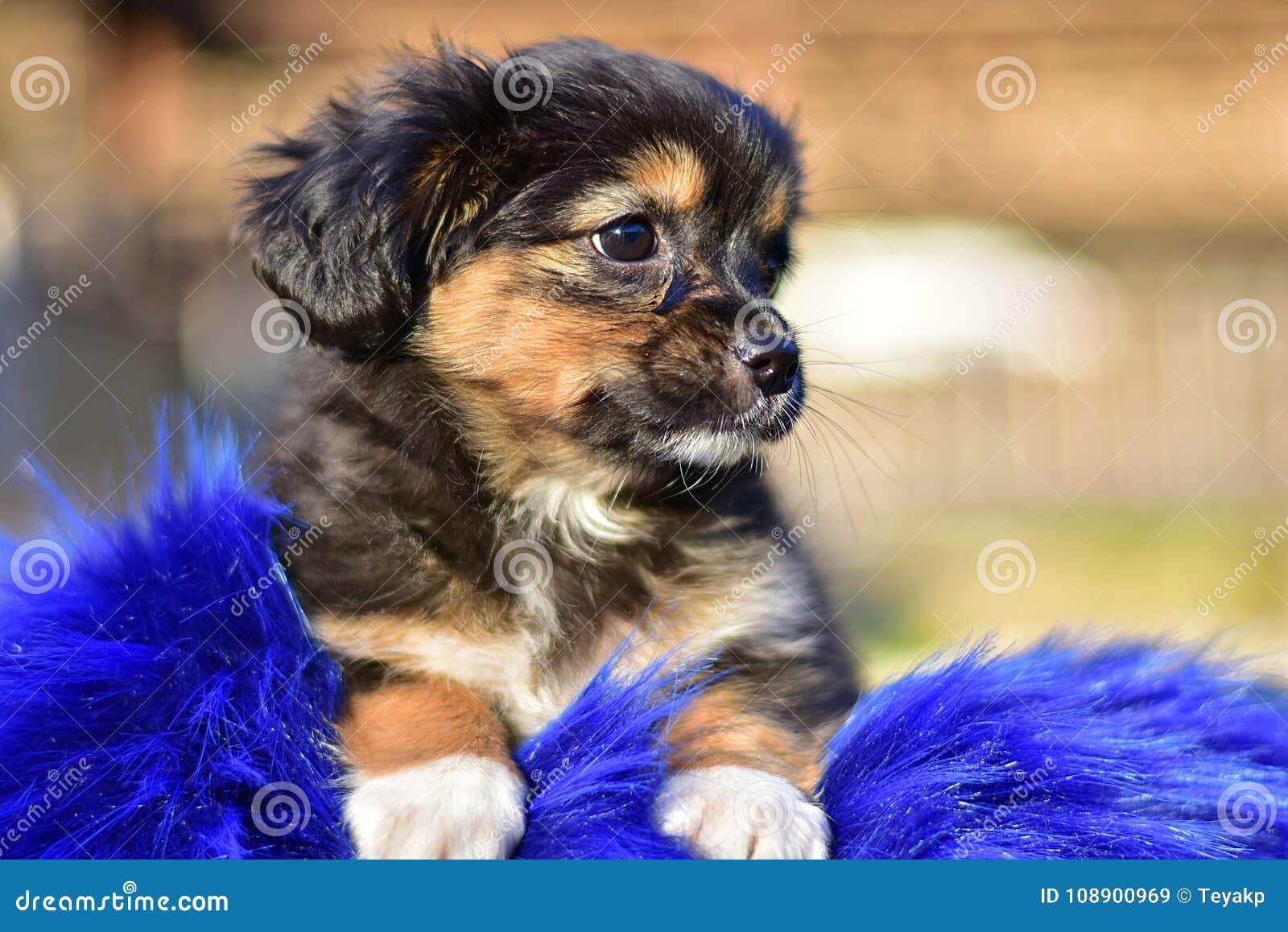 Havanese bichon havanais puppy dog