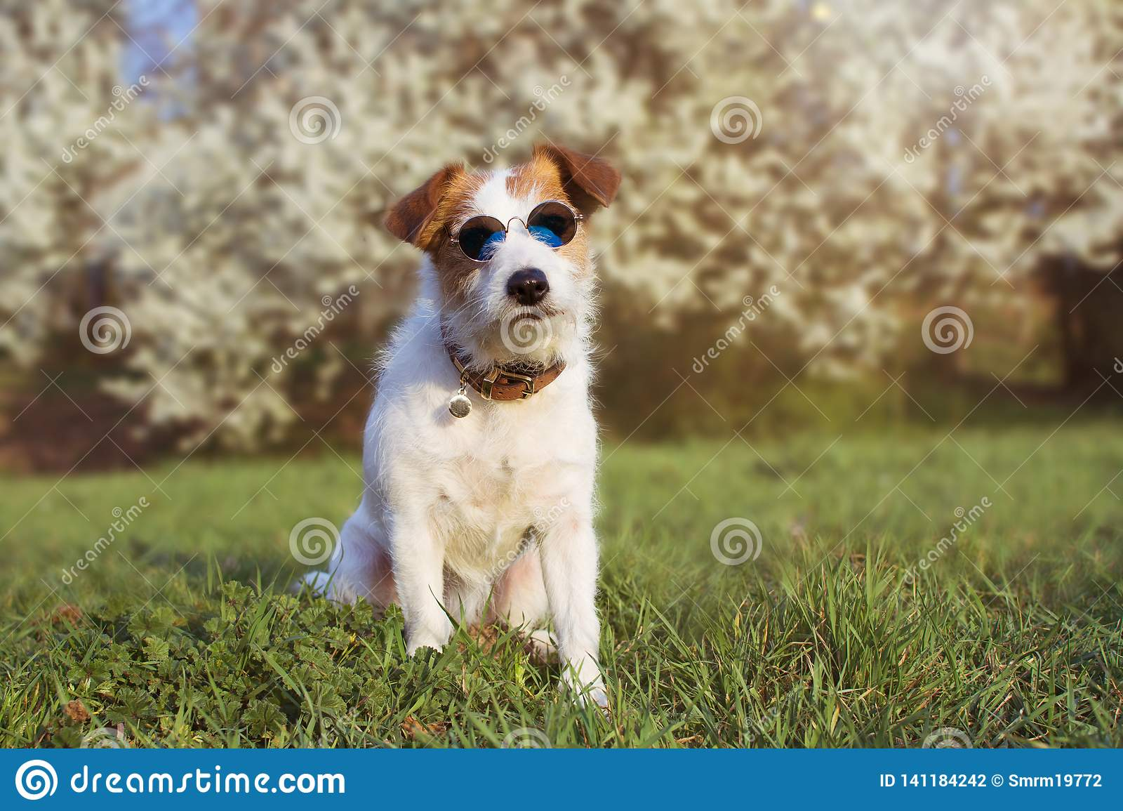 PORTRAIT CUTE JACK RUSSELL DOG WEARING SUMMER GLASSES AGAINST FLORAL SRPING BACKGROUND