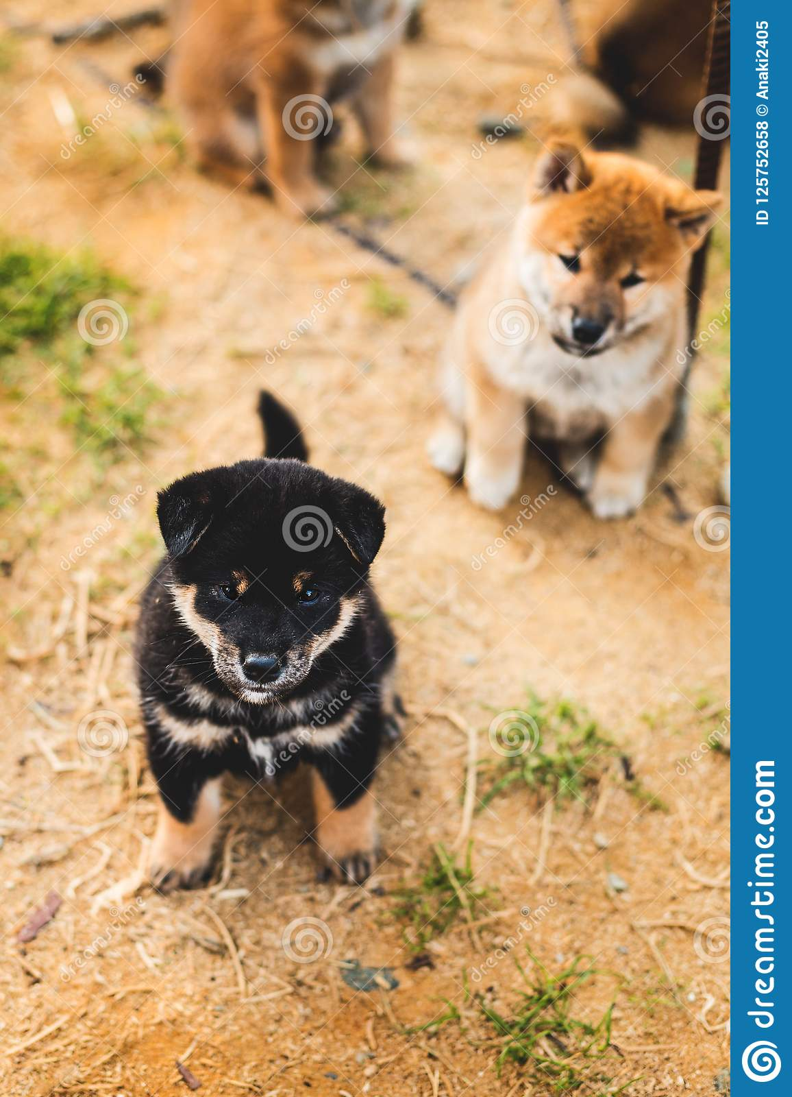 Portrait Of Cute Black And Tan Shiba Inu Puppy Sitting Outside On The Ground And Looking To The Camera Stock Photo Image Of Domestic Portrait 125752658