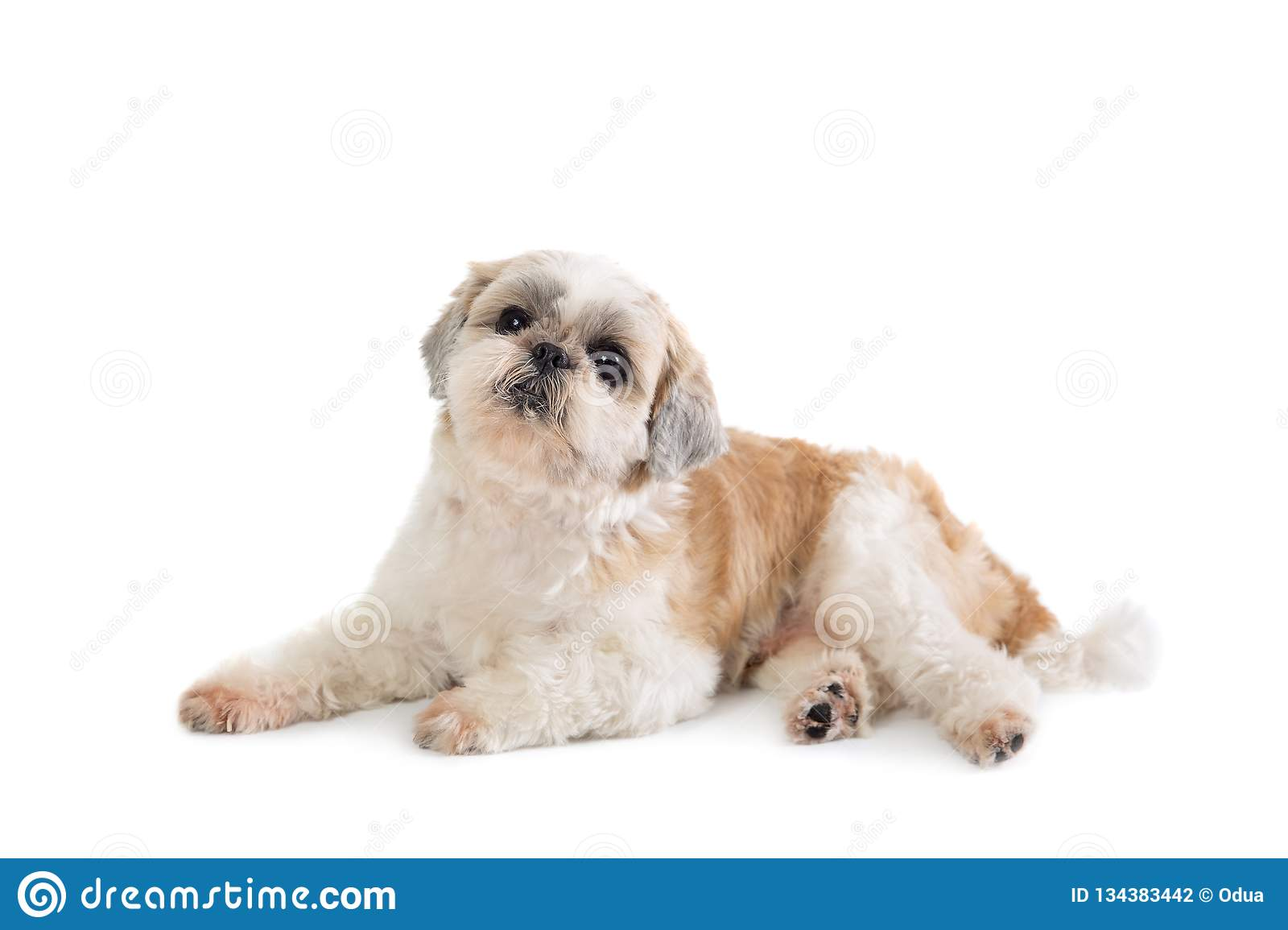 Cute Lazy Shih Tzu Dog Lying On The ...