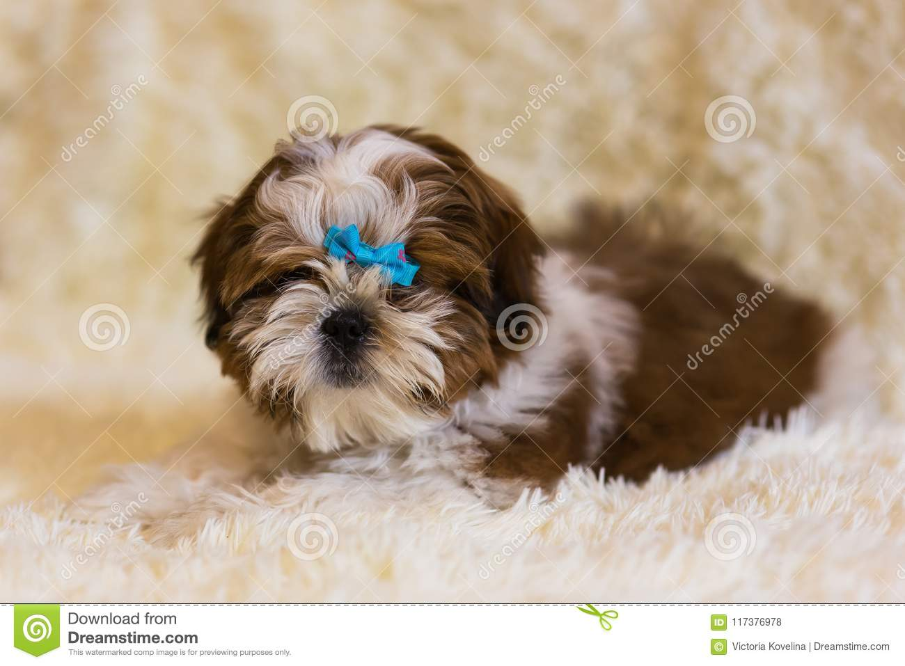 Portrait Of A Cute Little Shih Tzu Puppy Stock Photo Image Of Love Furry 117376978