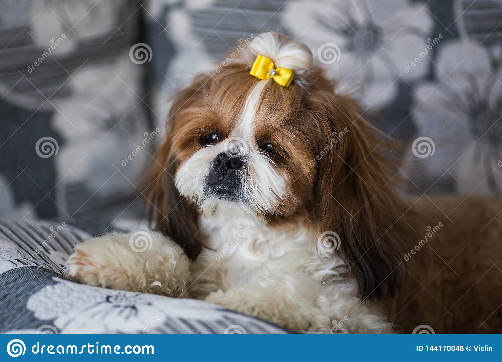 2 312 Portrait Puppy Shih Tzu Photos Free Royalty Free Stock Photos From Dreamstime