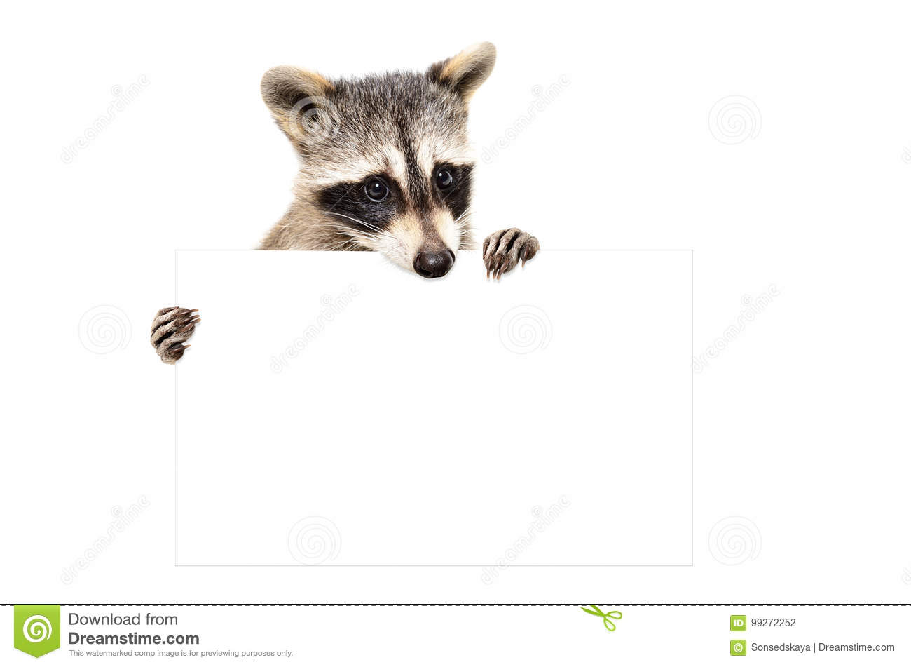 Portrait of a cute raccoon with banner