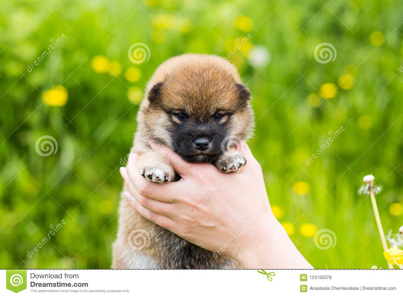 Portrait Of Cute Two Weeks Old Shiba Inu Puppy In The Hands Of The Owner In The Buttercup Meadow Stock Photo Image Of Green Funny 123150378