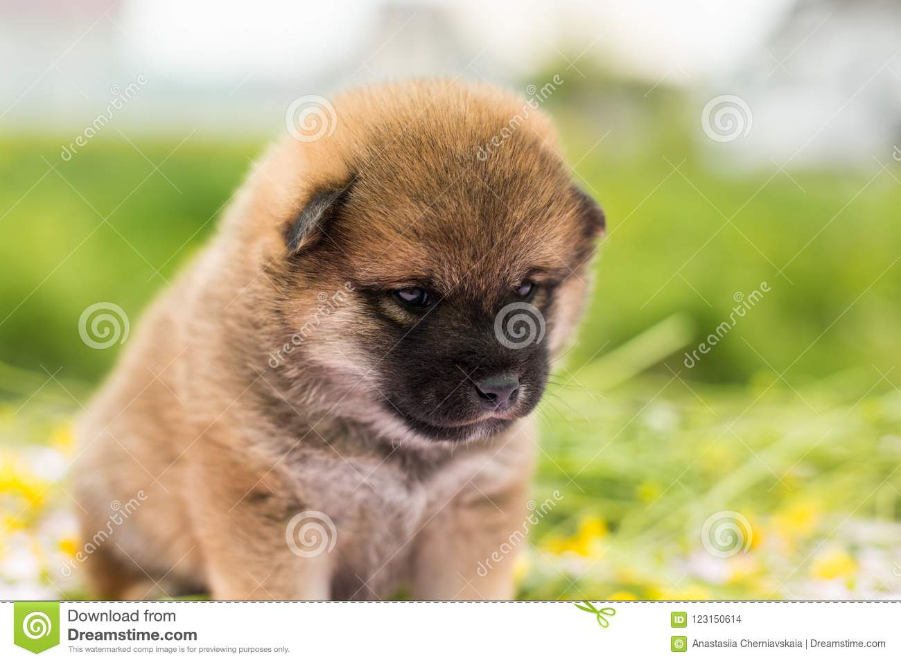 Portrait Of Cute Two Weeks Old Shiba Inu Puppy Sitting On The Table In The Buttercup Meadow Stock Photo Image Of Mammal Summer 123150614