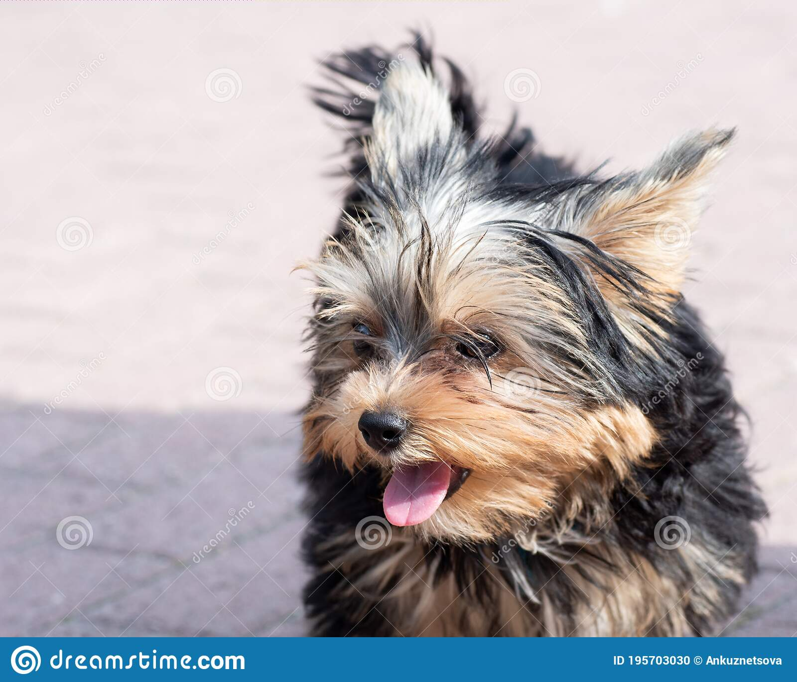 Portrait Of A Cute Shaggy Yorkshire Terrier Puppy With Protruding Tongue Close Up Copy Space Stock Photo Image Of Furry Charming 195703030