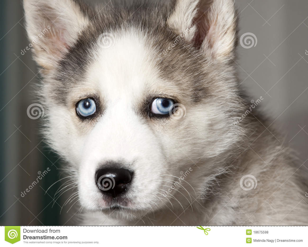 Portrait Of Cute Siberian Husky Puppy Stock Photo Image Of Eyes