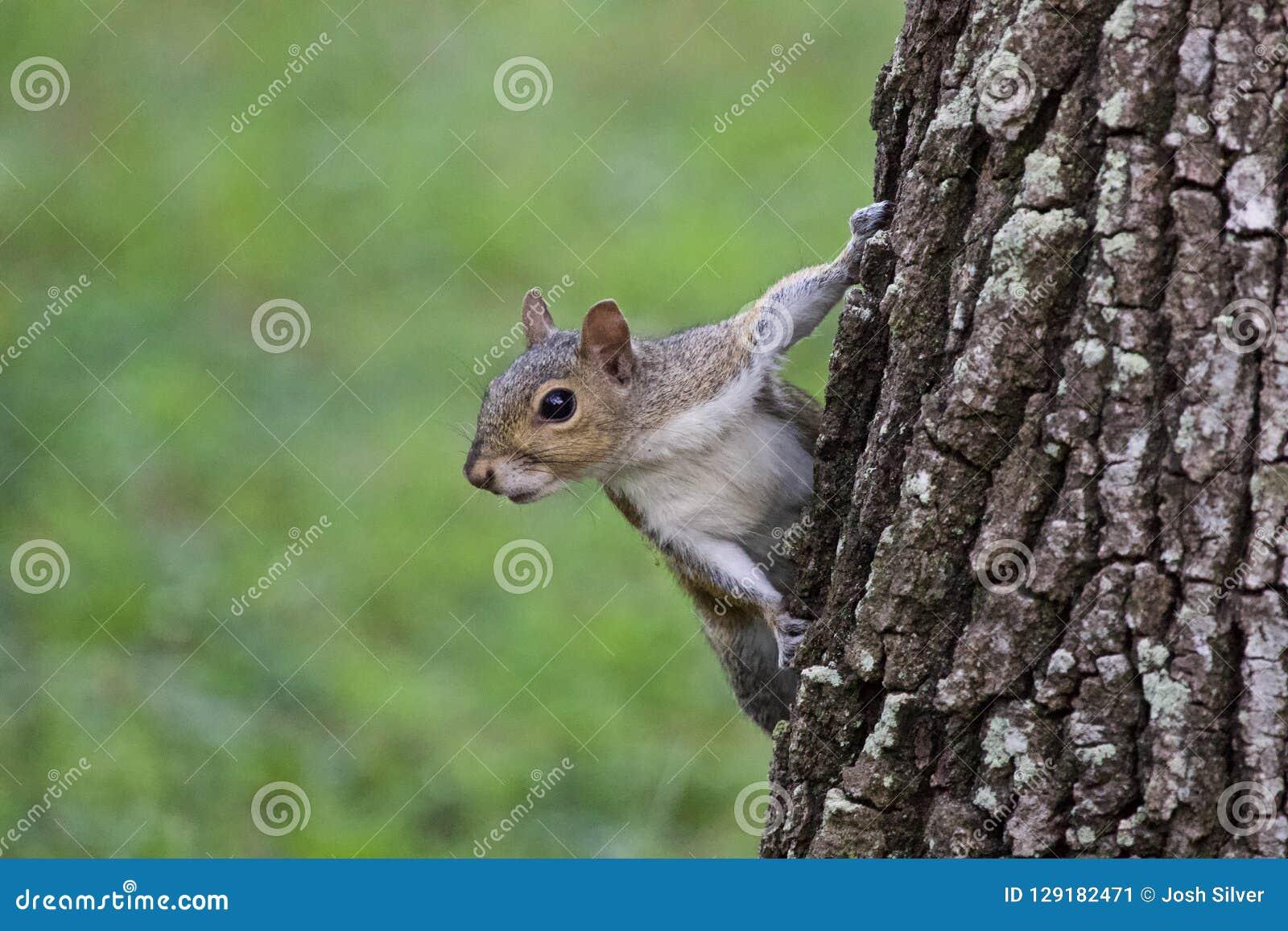 Portrait d écureuil d arbre gris