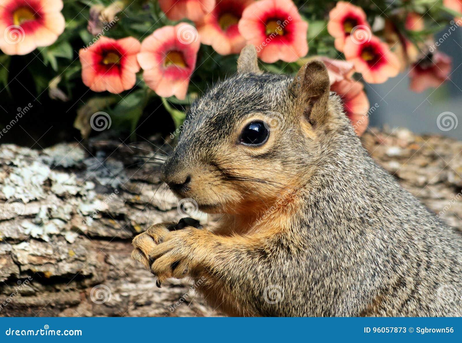 Portrait d écureuil de Fox