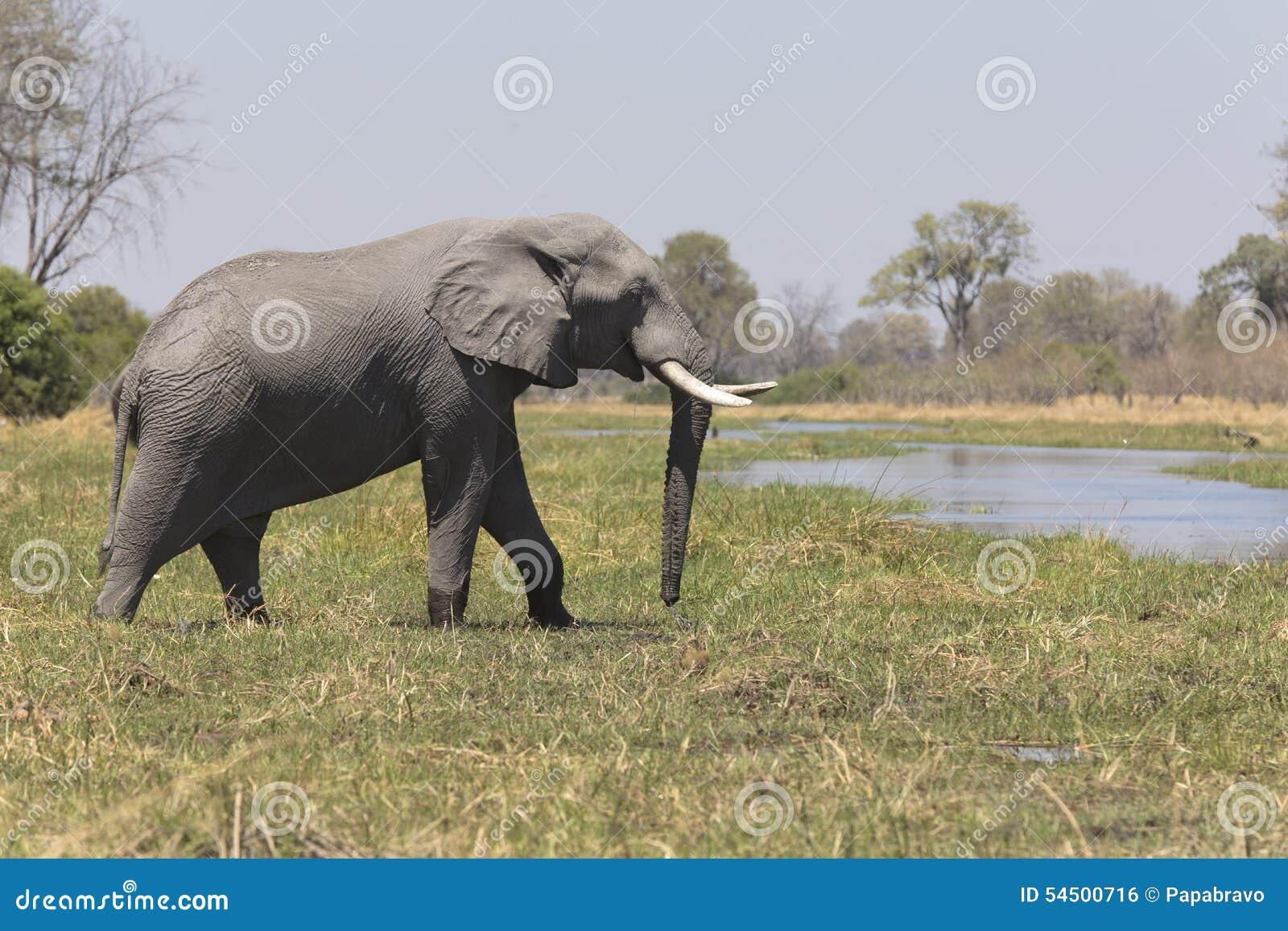 Portrait d éléphant de taureau gratuit sauvage