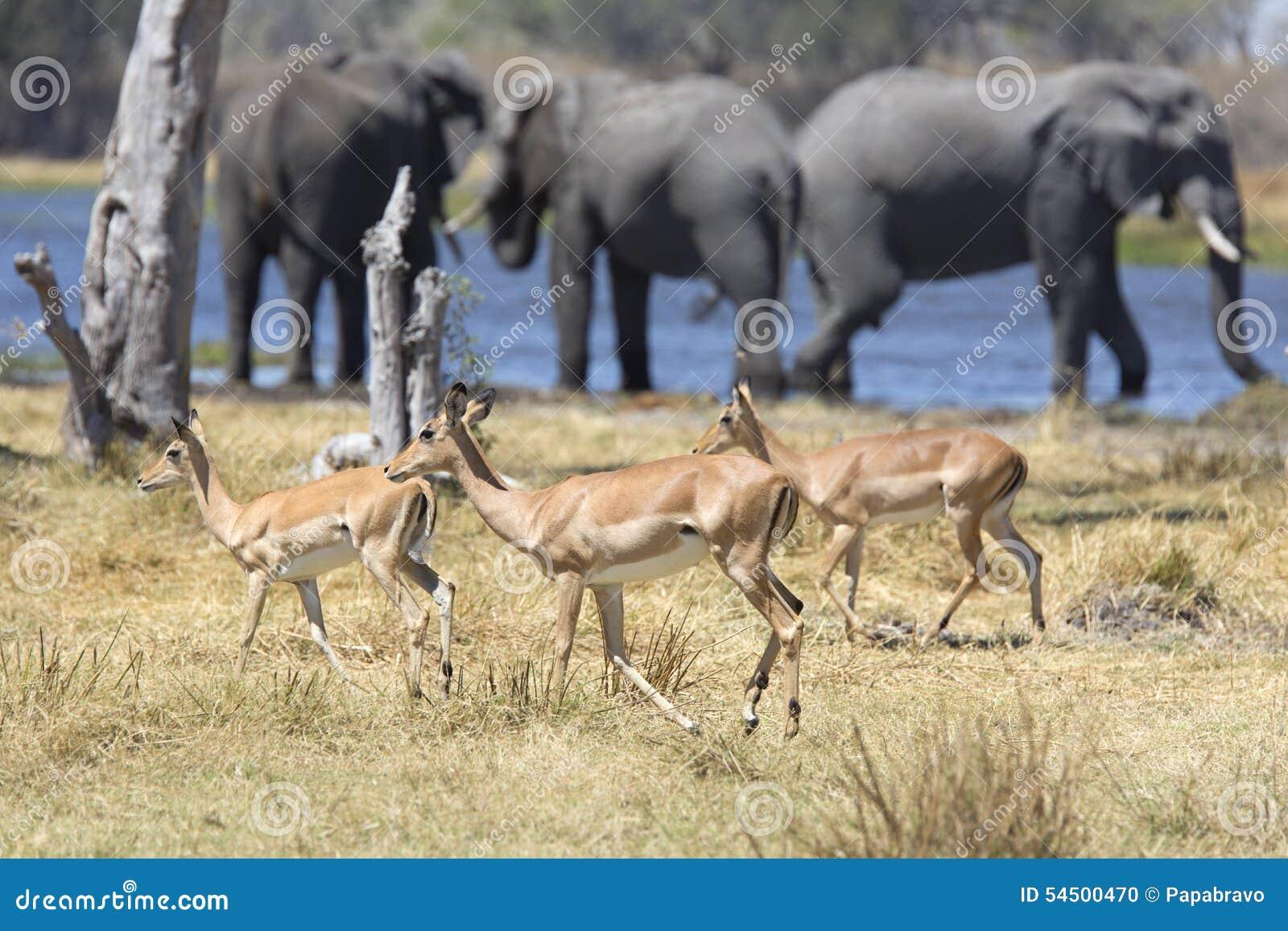 Portrait d éléphant de taureau gratuit sauvage en rivière